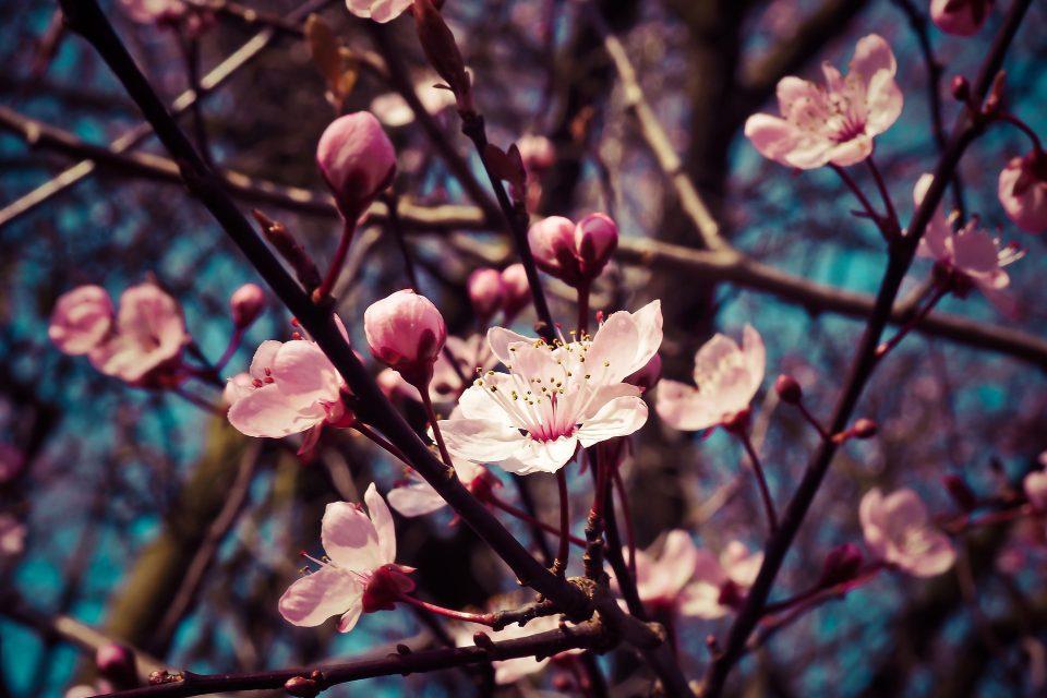 Das Gartengedicht Narren hasten. Blühende Obstbäume im romantischen Garten