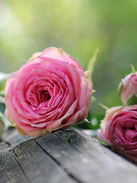 Das Gartengedicht als allerschönste bist du anerkannt, als eine Ode an die Rose.Rosen sind im romantischen Garten ein wichtiges Element
