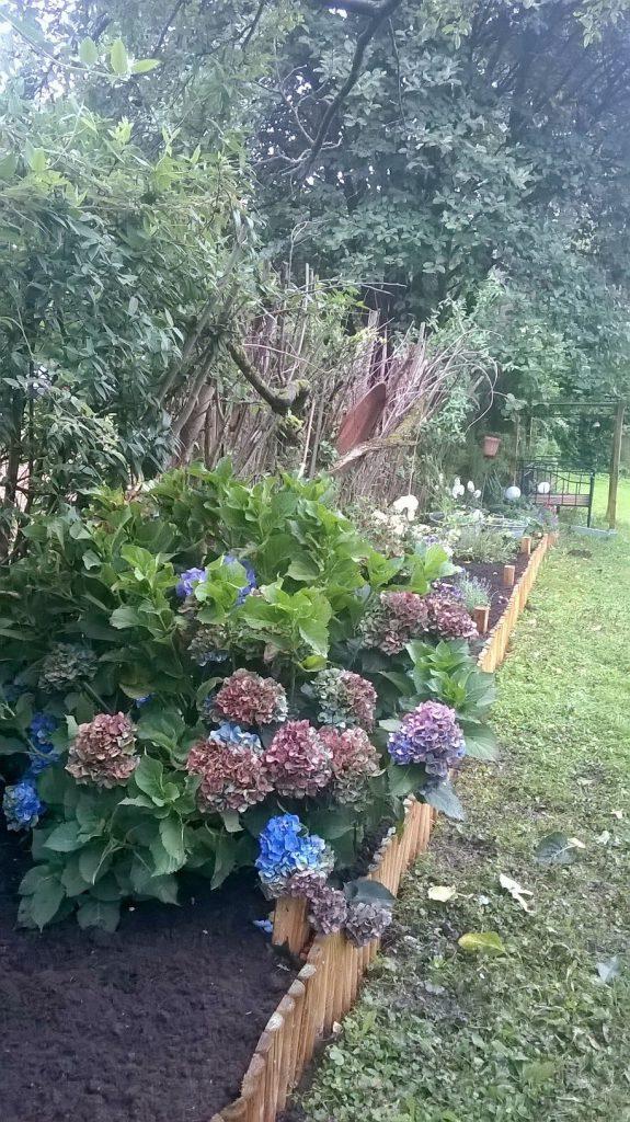 Das lange Staudenbeet im Pachtgarten mit großer Hortensie