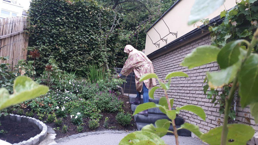Während eines leichten Sommerregens, gebe ich der Clematis ein wenig Hilfe beim Klettern