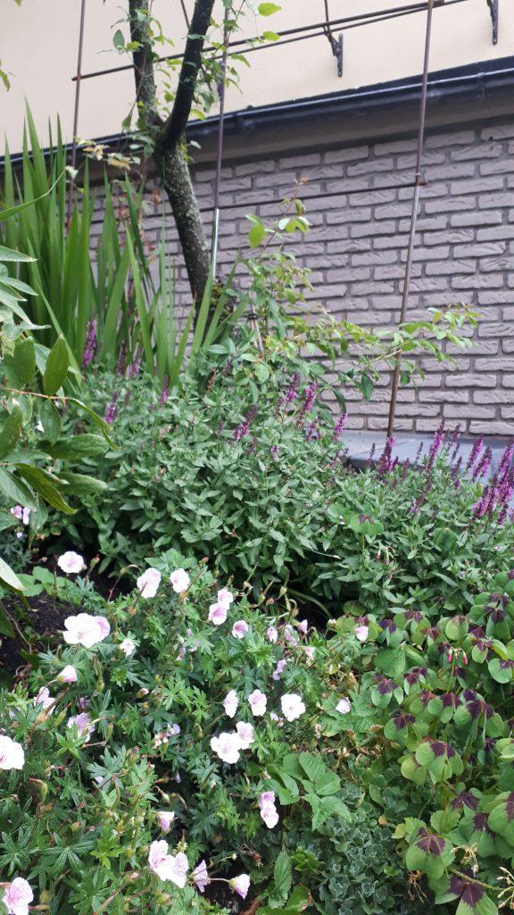 Storchschnabel, Glücksklee und Salbei als Bepflanzung am Hang an der alten Kirsche