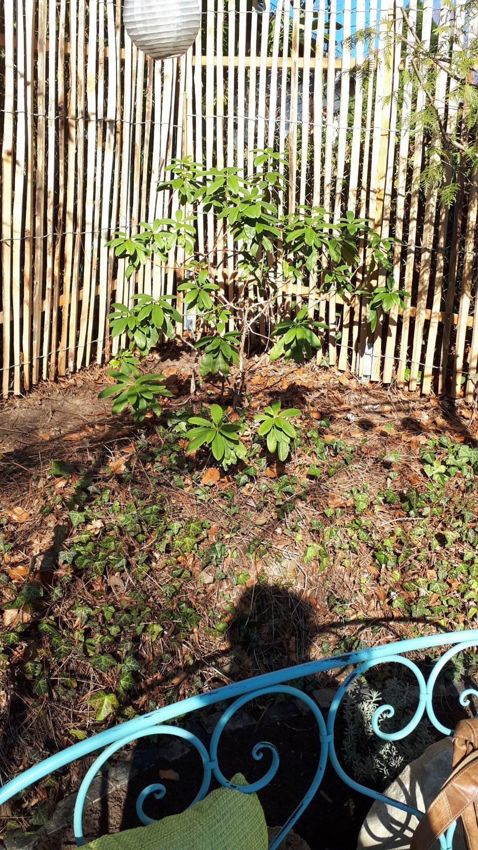 Der Rhododendron der bei den Baumfällarbeiten entdeckt wurde, erholt sich