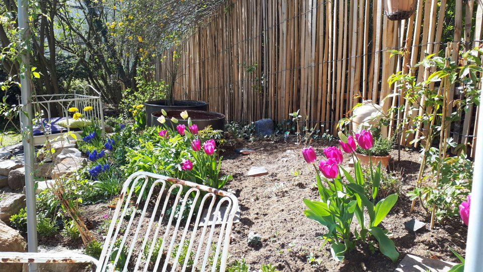 Das Staudenbeet entwickelte sich mit Tulpen und Pfingstrosen zunächst sehr gut