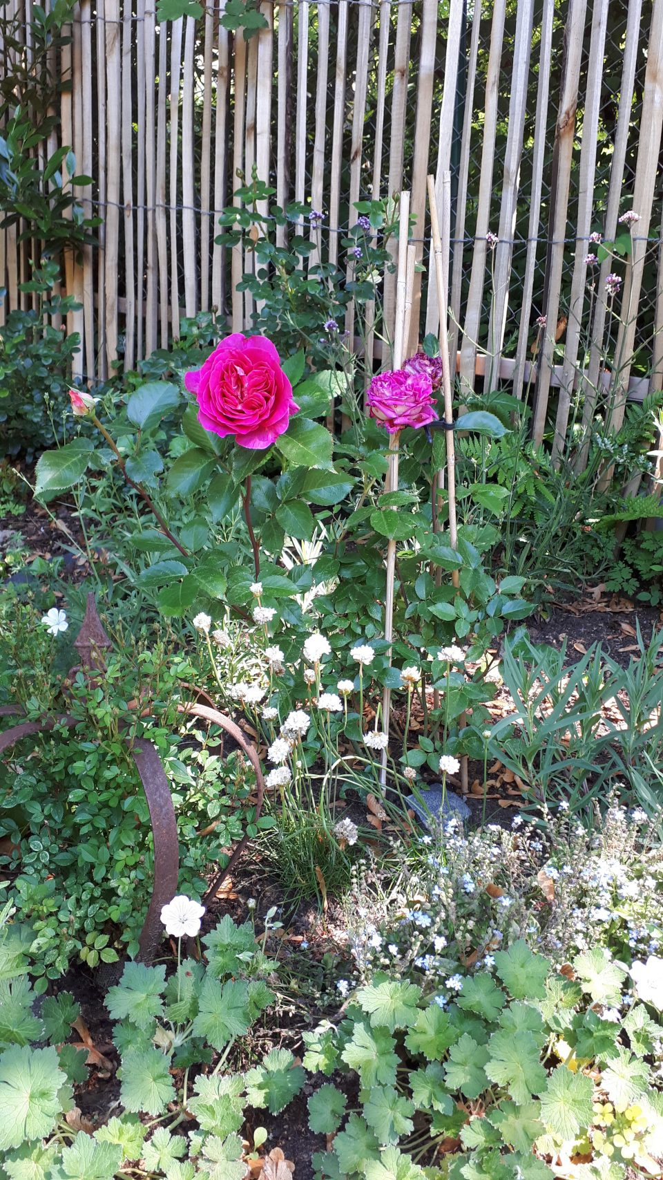 Die Duftrose Chartreuse de Parme mit Rosenbegleitern.