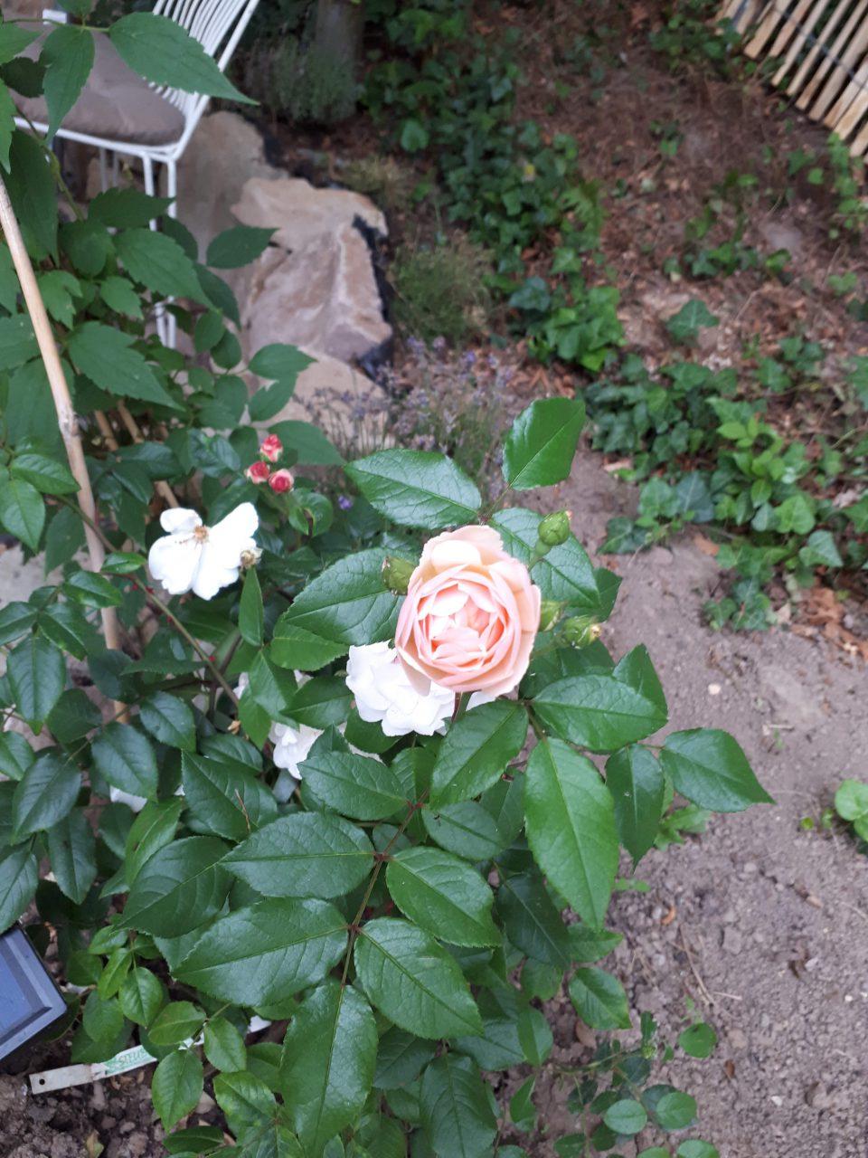 Der öfterblühende Rambler Lady of the Lake hat sich am Problemstandort Rosenpavillon gar nicht wohl gefühlt.