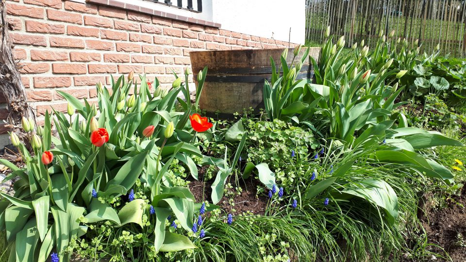 Die Tulpen stammen noch aus den Altbeständen des Gartens