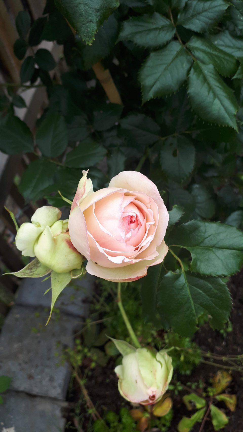 In meinem romantischen Garten gibt es eine ausgeprägte Pflanzenlust auf Rosen. Der Rosengarten mit den begleitenden Stauden hat eine zentrale Rolle inne.