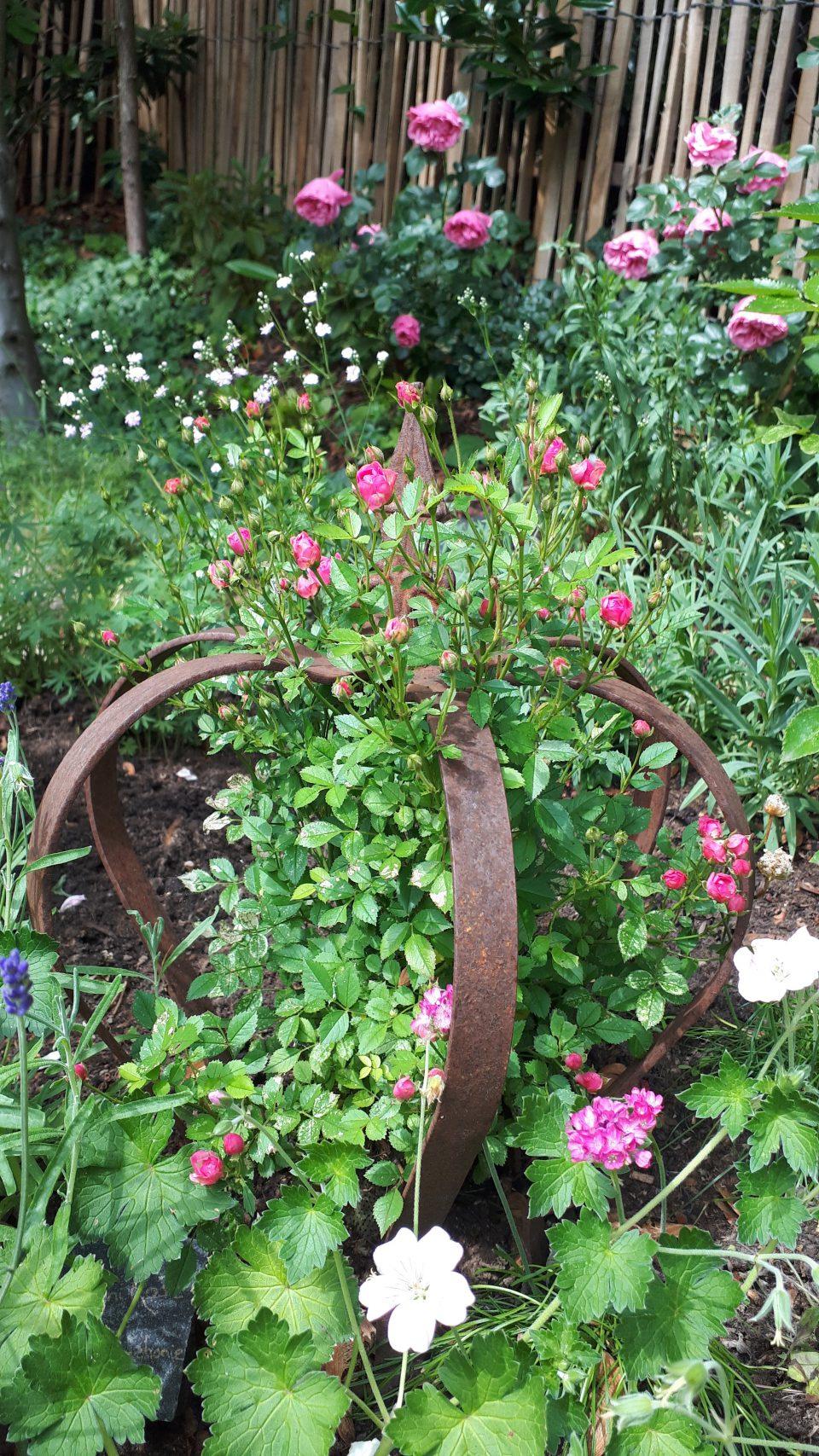 Die Zwergrose Lilly Rose Wonder5 in einer rostigen Krone