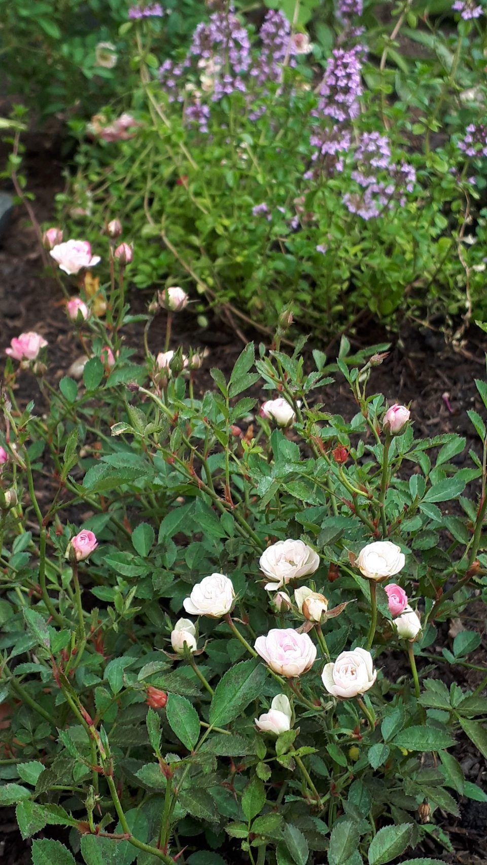 Die Zwergrose Lilly Rose WOnder 5 im neu angelegten Eingangsbereich