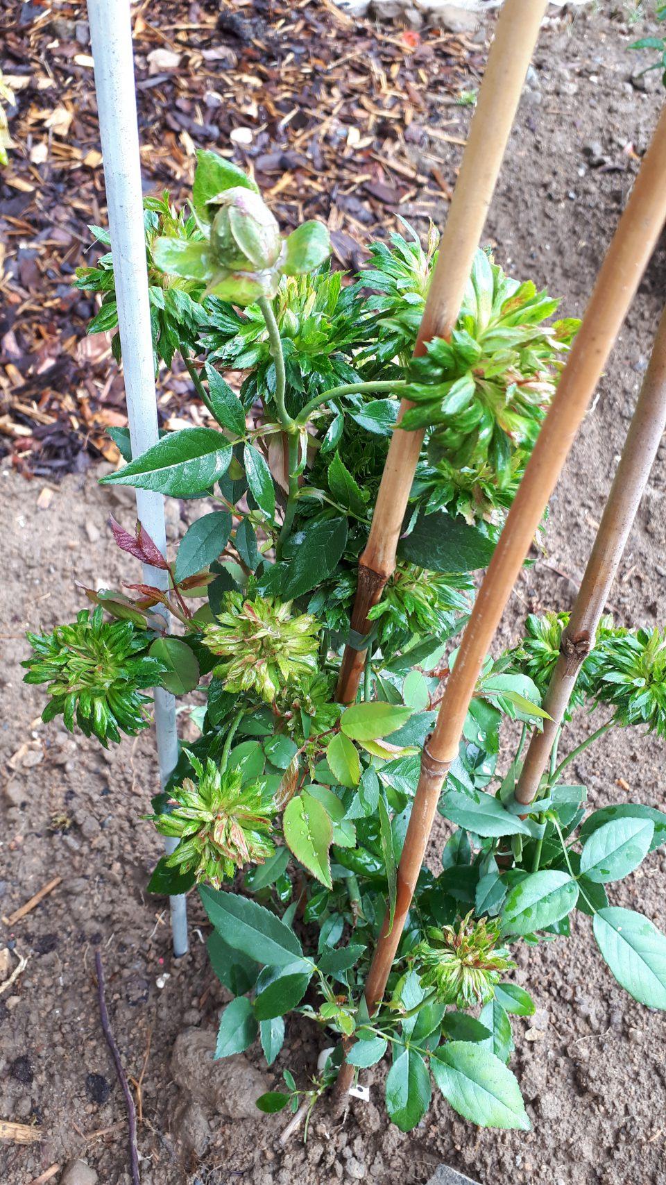 Die grüne Rose Viridiflora ist Teil meiner Rosensammlung