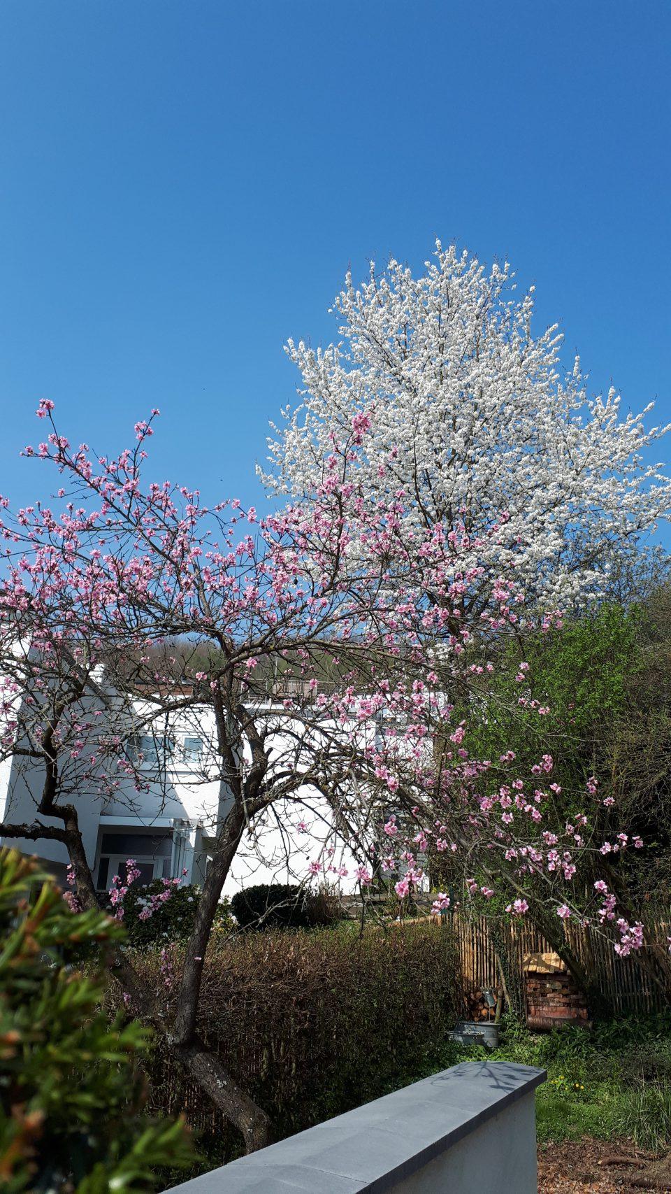 Der Pfirsichbaum gehört zum alten Baumbestand und er trägt jedes Jahr.