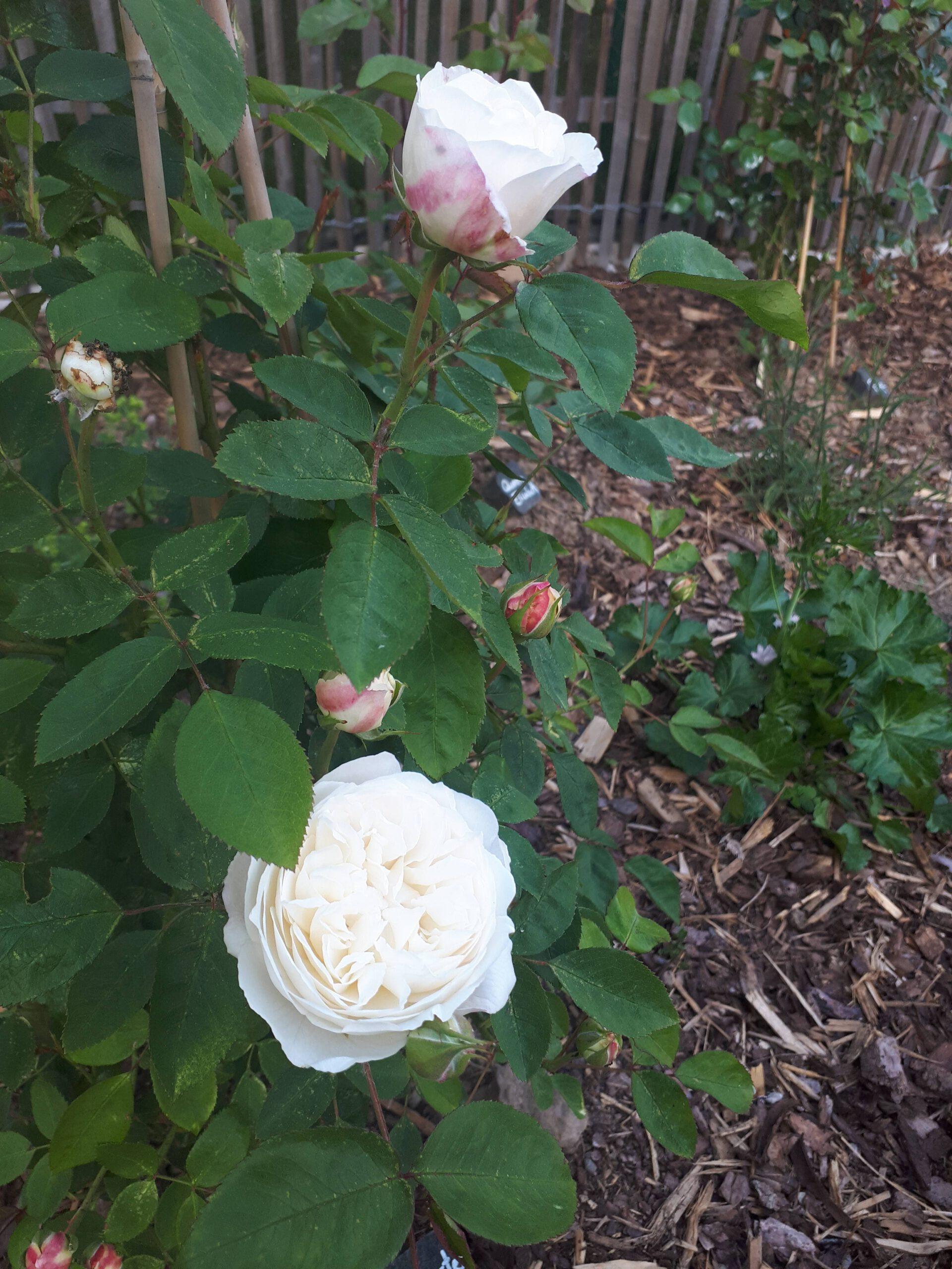 Meine Rosensorten, hier die Rose Winchester Cathedral.