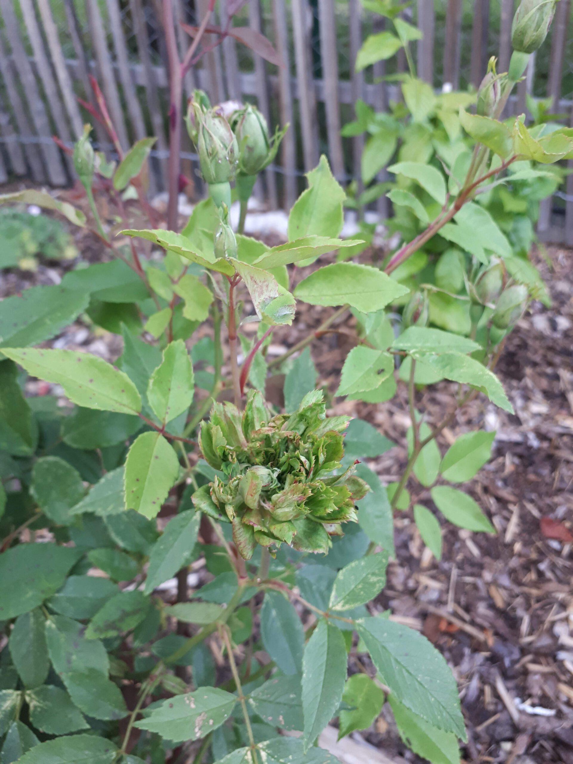 Meine Rosensorten, hier die Rose Viridiflora
