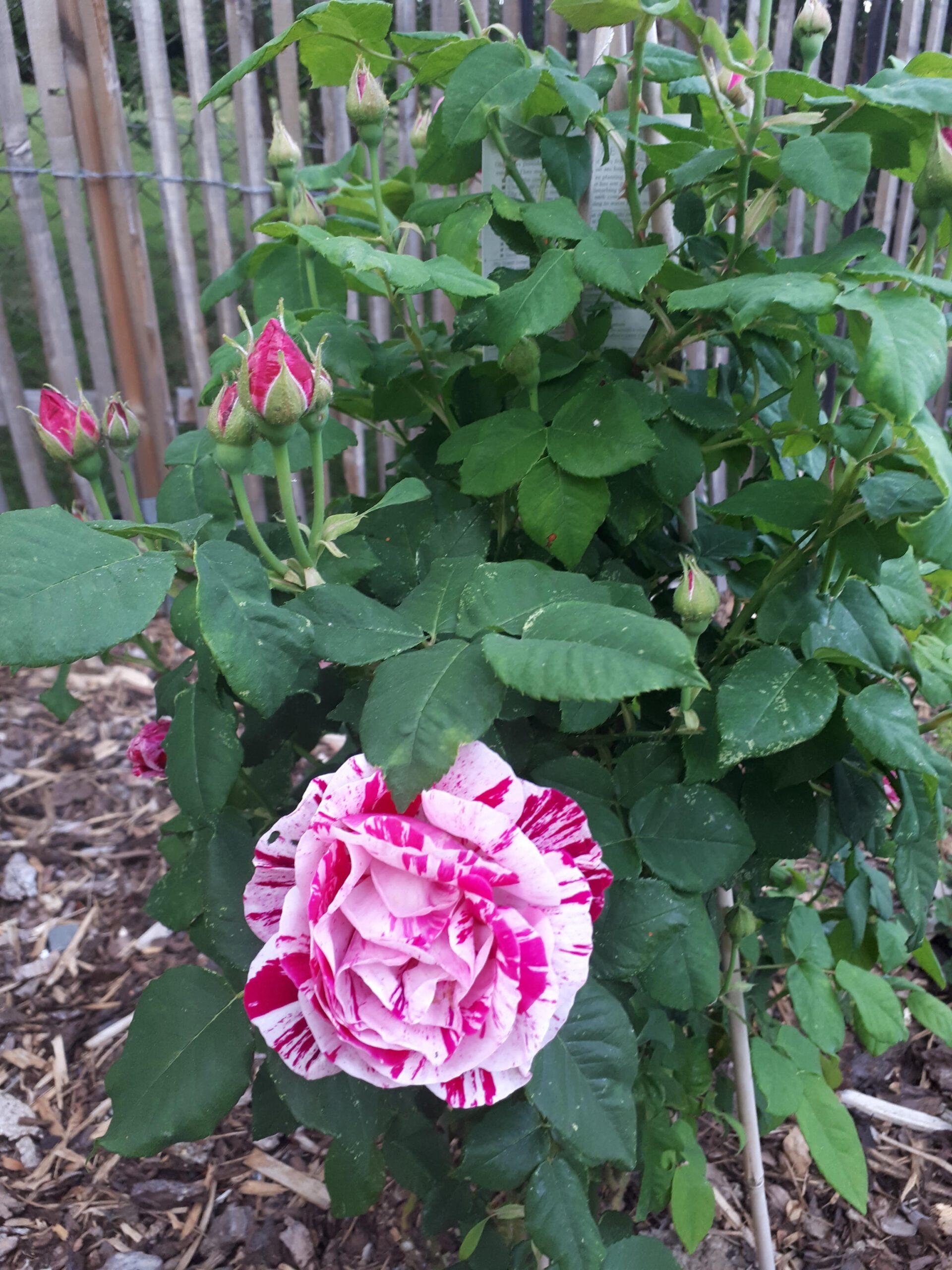 Meine Rosensorten, hier die zweifarbige Remontantrose Ferdinand Pichard.