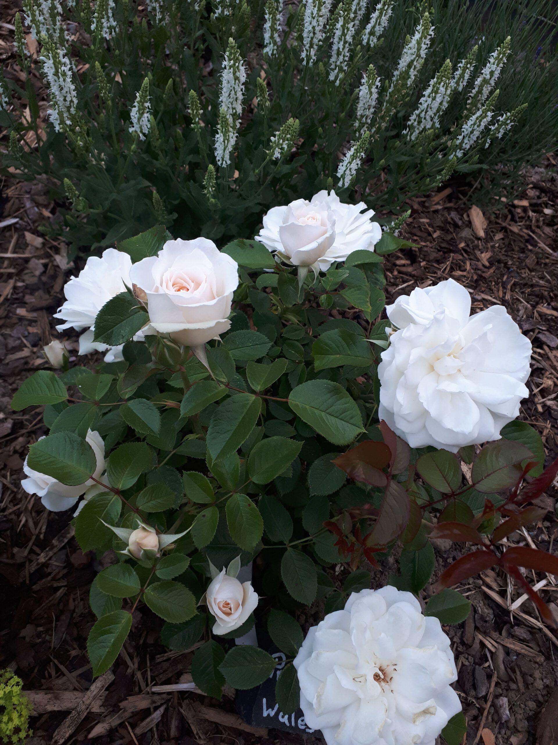 Meine Rosensorten, hier die englische Beetrose Princess of Wales.
