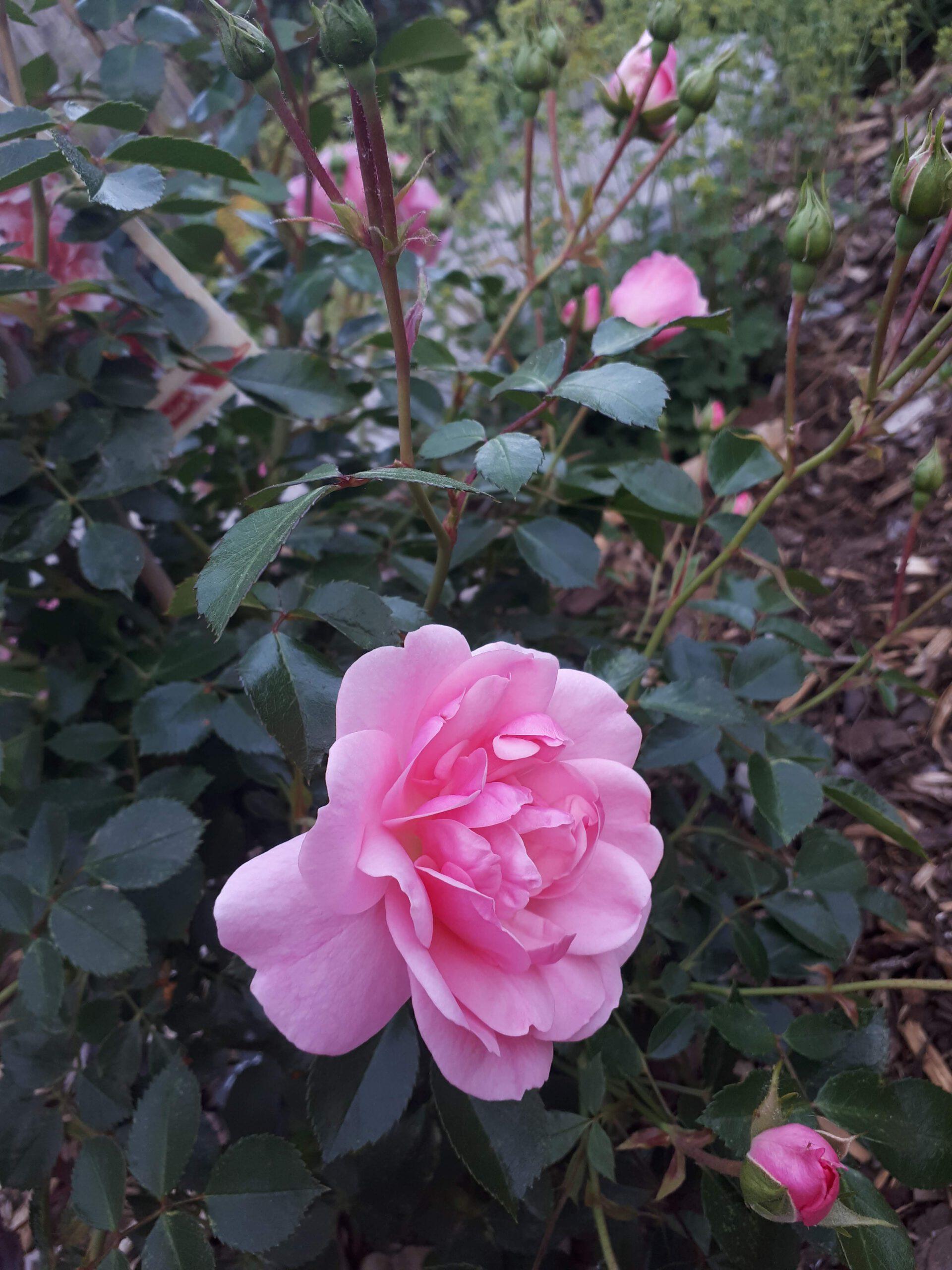 Meine Rosensorten, hier die Beetrose Bonica 82.