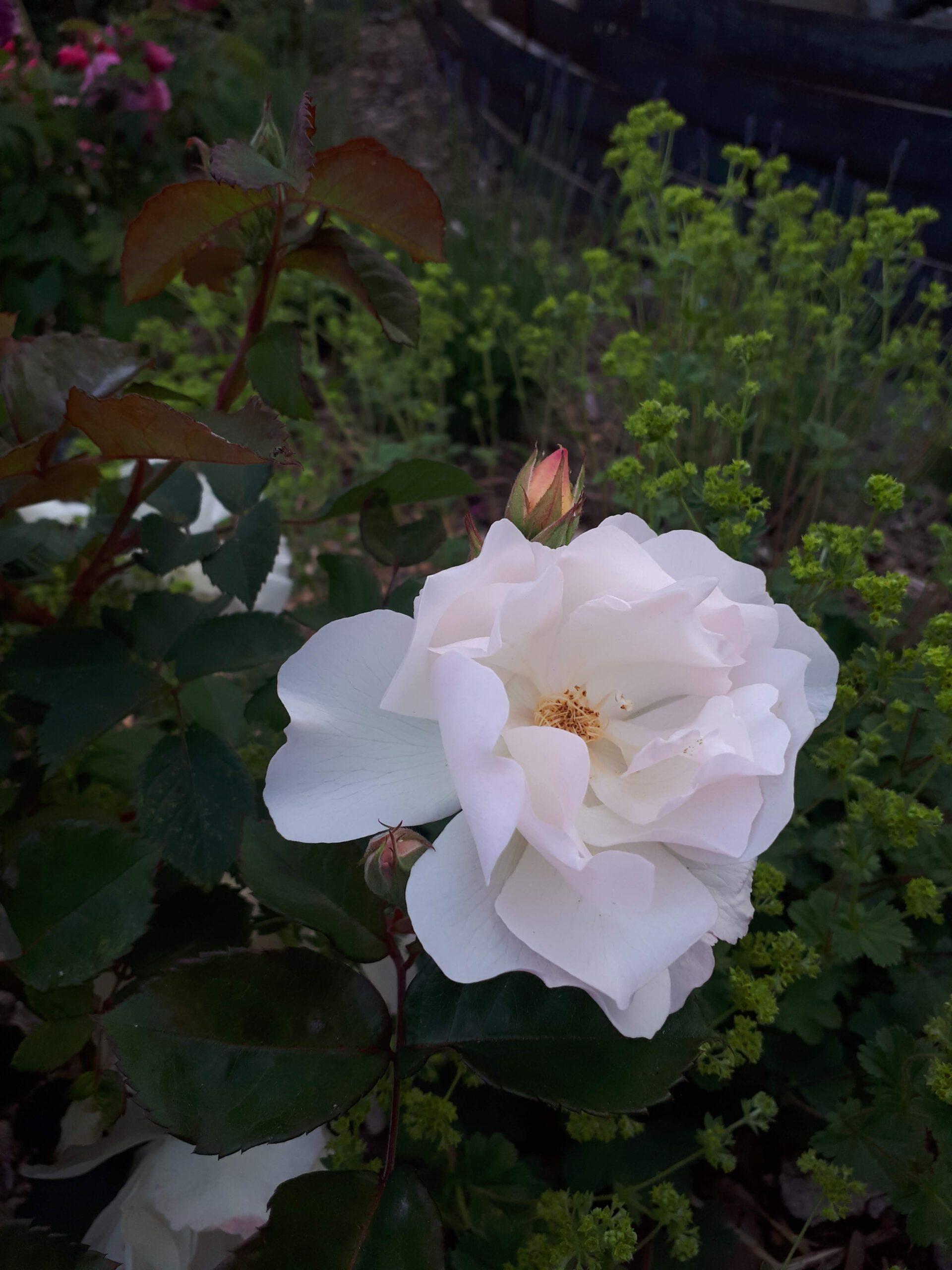 Meine Rosensorten, hier die historische Strauchrose Penelope.