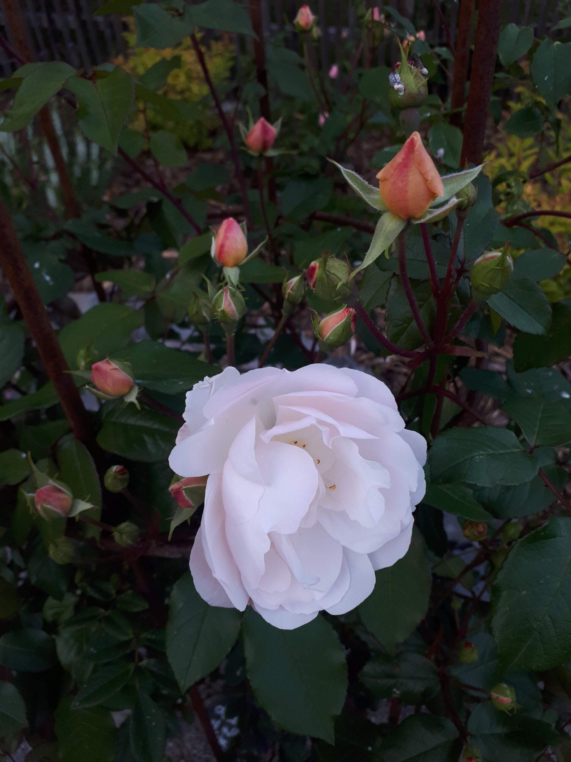 Meine Rosensorten, hier der öfterblühende Rambler Lady of the Lake.