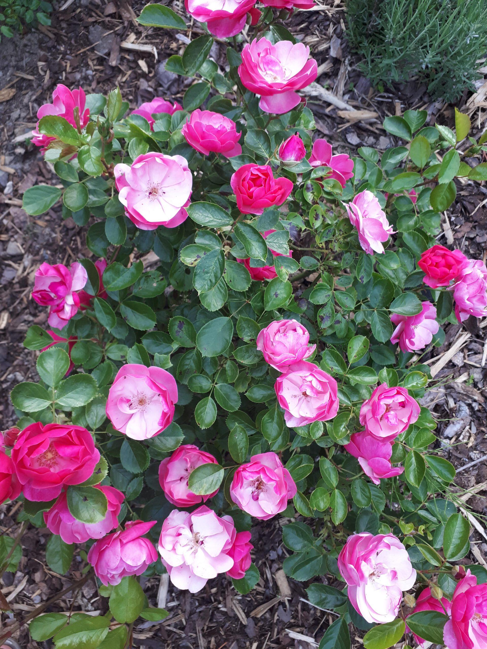 Meine Rosensorten, hier die Strauchrose Angela