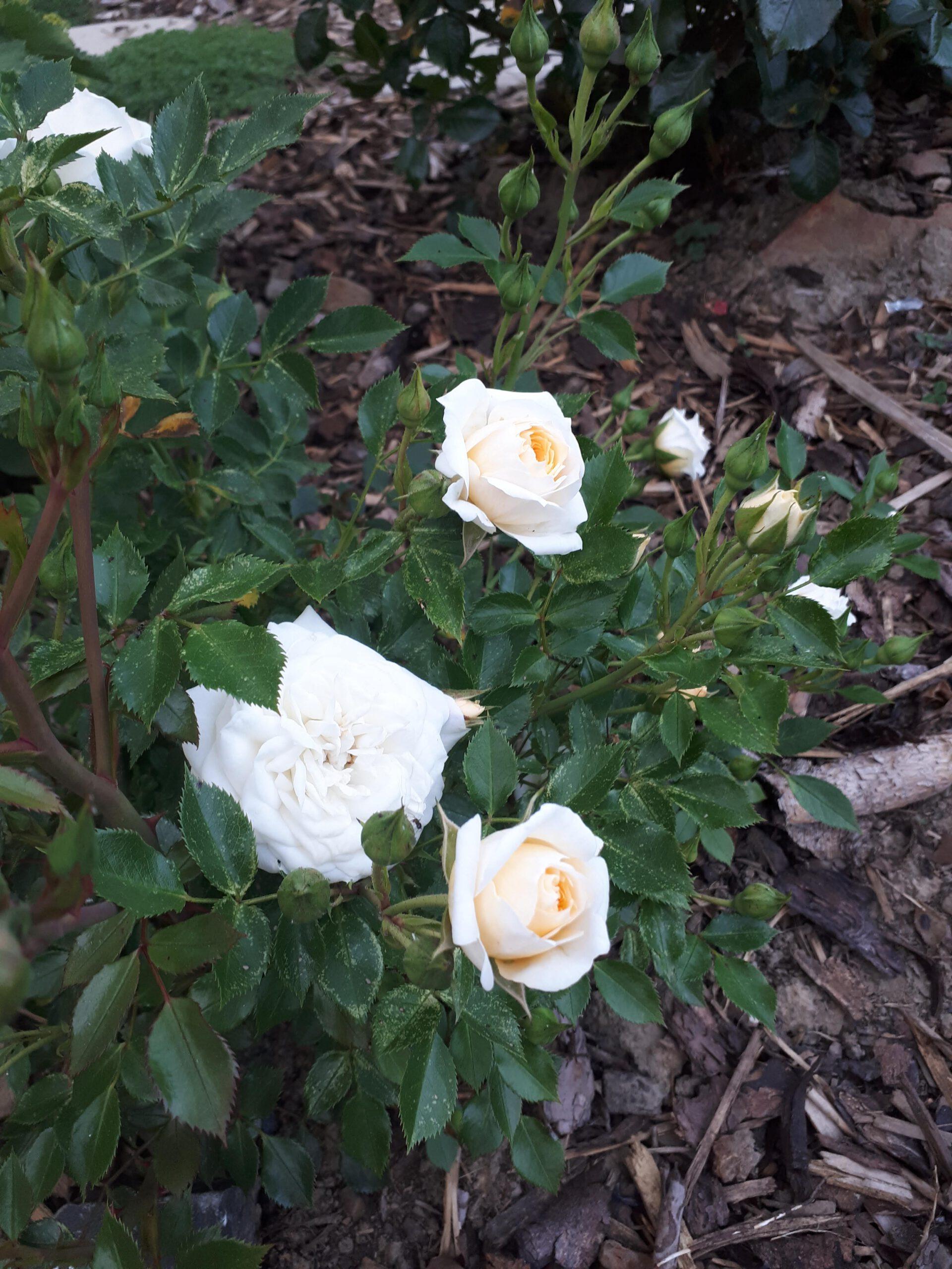 Meine Rosensorten, hier die Zwergrose Honeymilk.