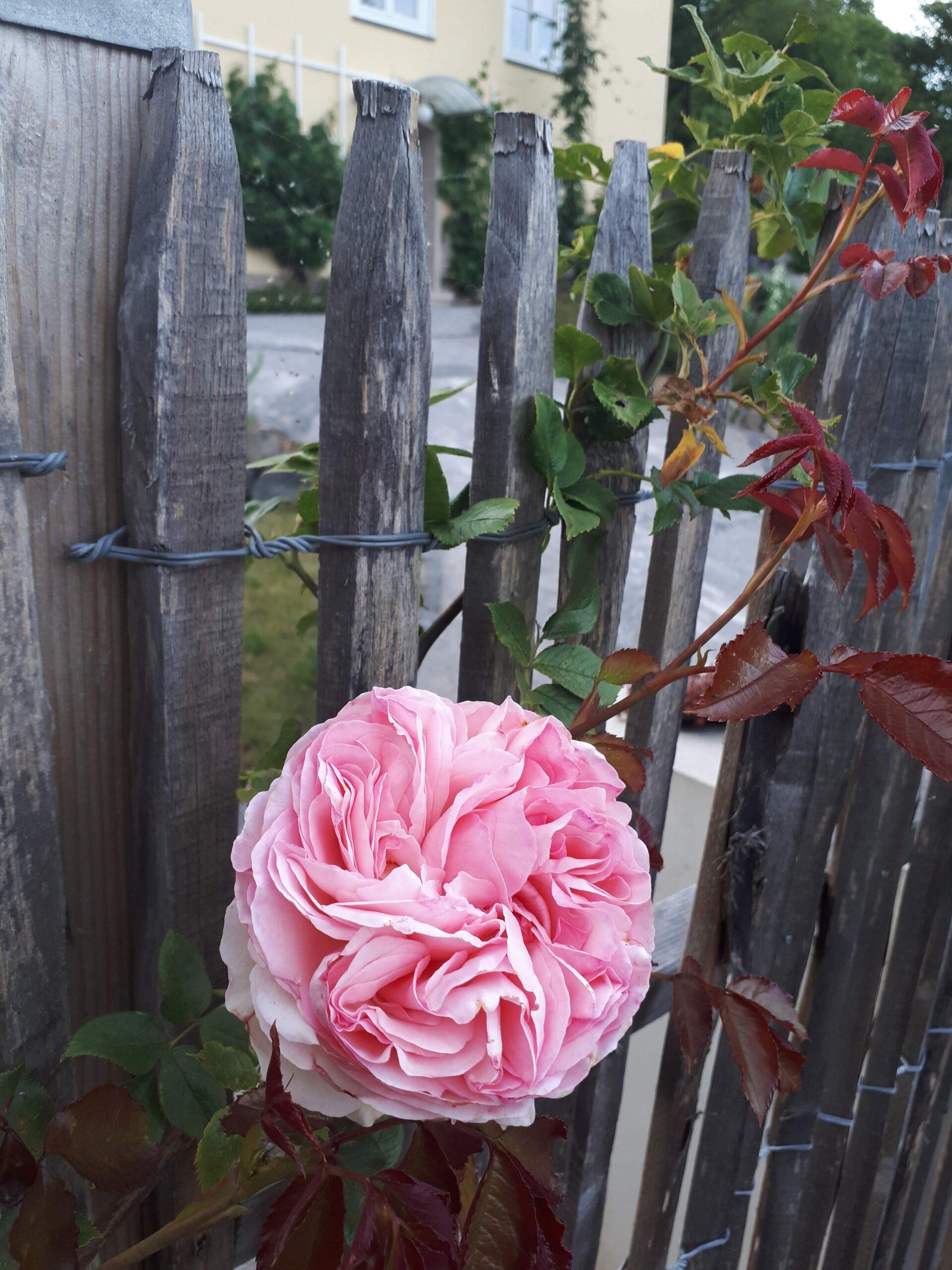 Meine Rosensorten, hier die Strauchrose Eden 85 oder auch Pierre de Ronsard.