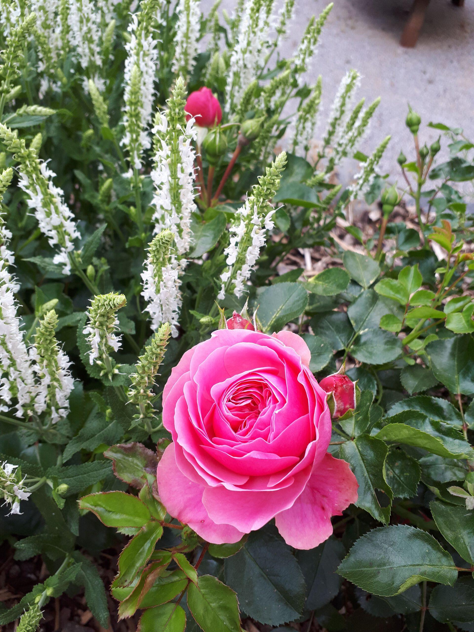 Der weiße Salbei Schneehügel ist einer meiner liebsten Rosenbegleiter. Hier mit der Rose Leonardo da Vinci.