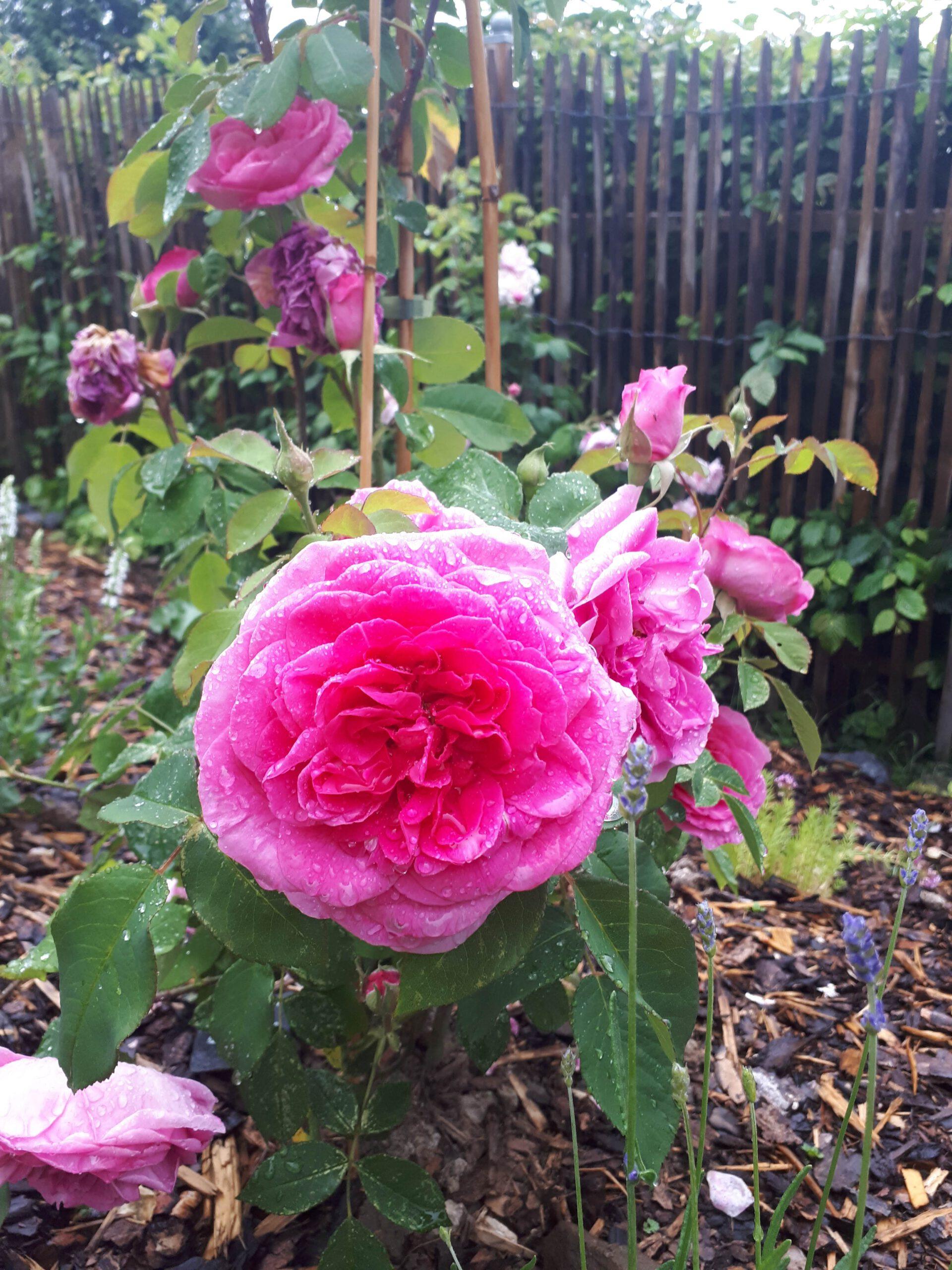 Meine Rosensorten, hier die Sorte Gertrude Jekyll