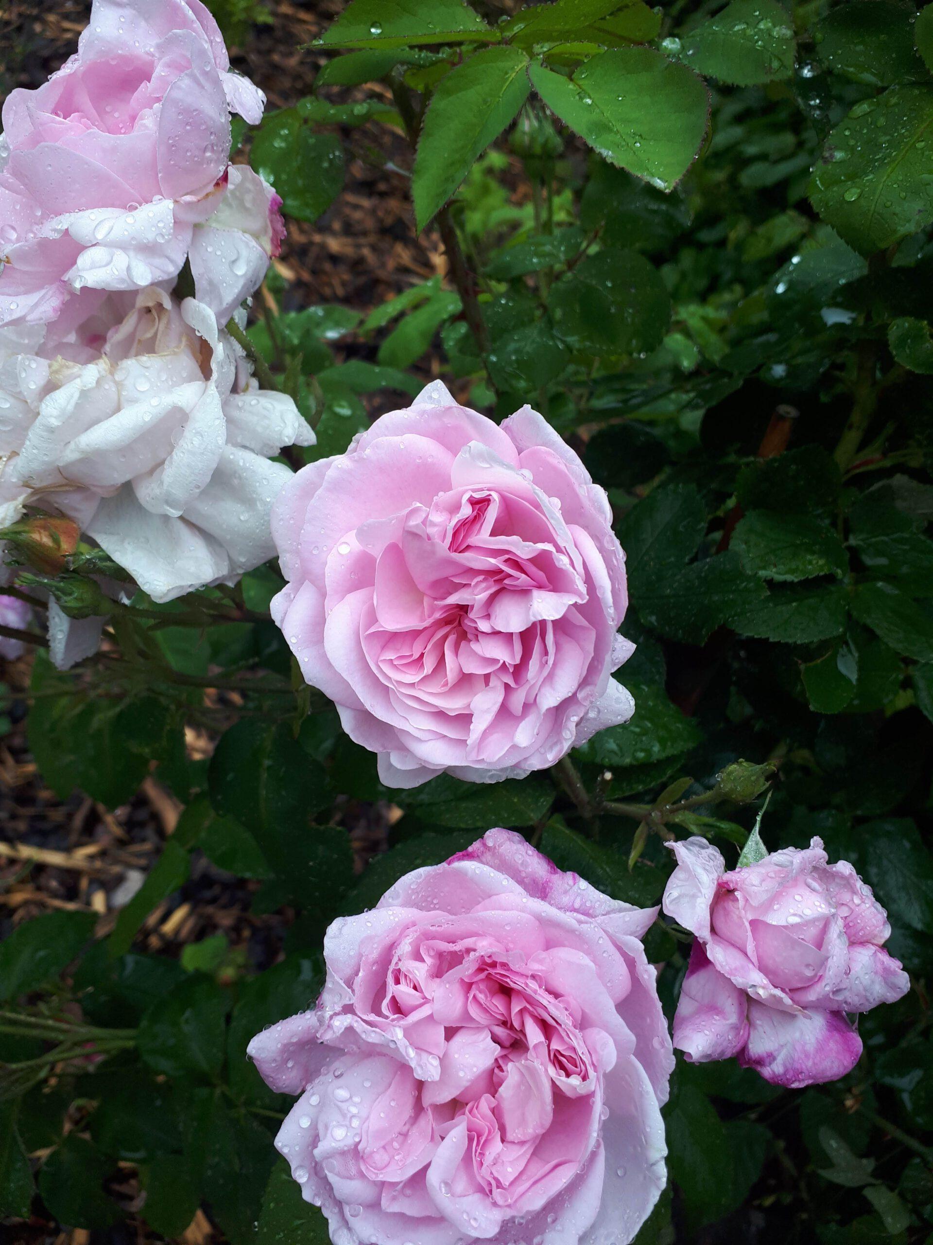 Meine Rosensorten, hier die Parkrose Fantin Latour.