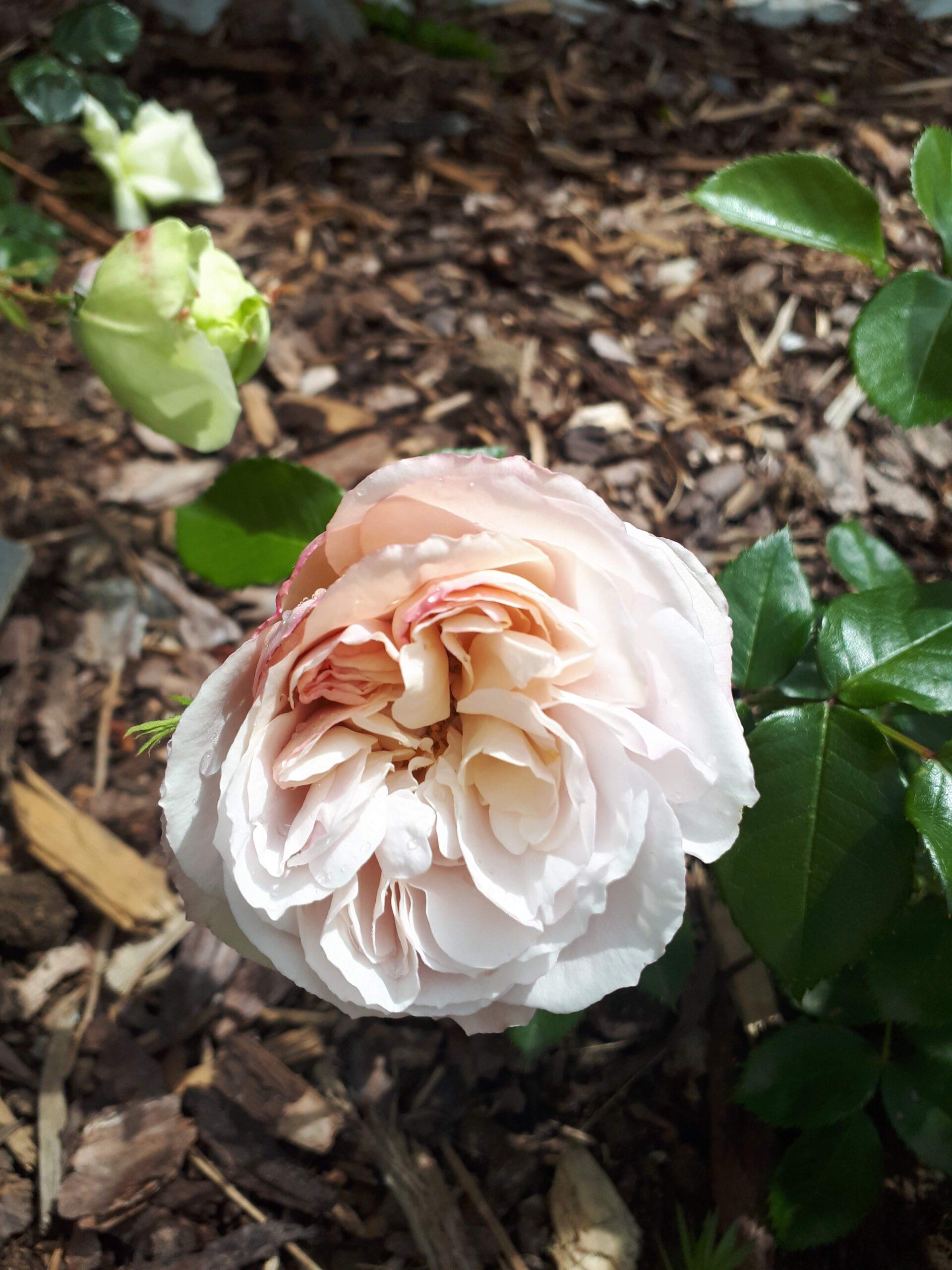 Meine Rosensorten, hier die Strauchrose Herkules