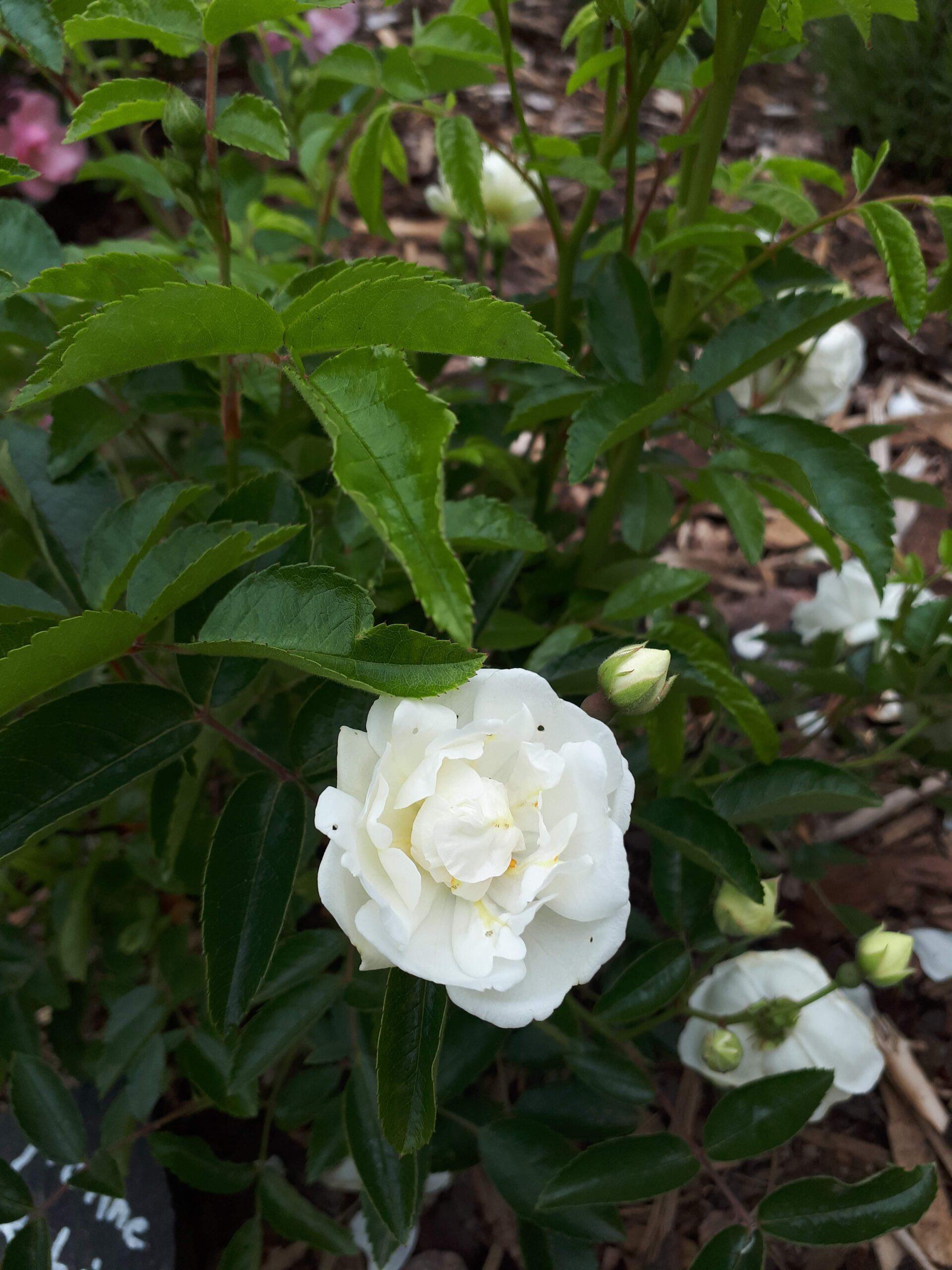 Meine Rosensorten, hier die historische Beetrose Yvonne Rabier.