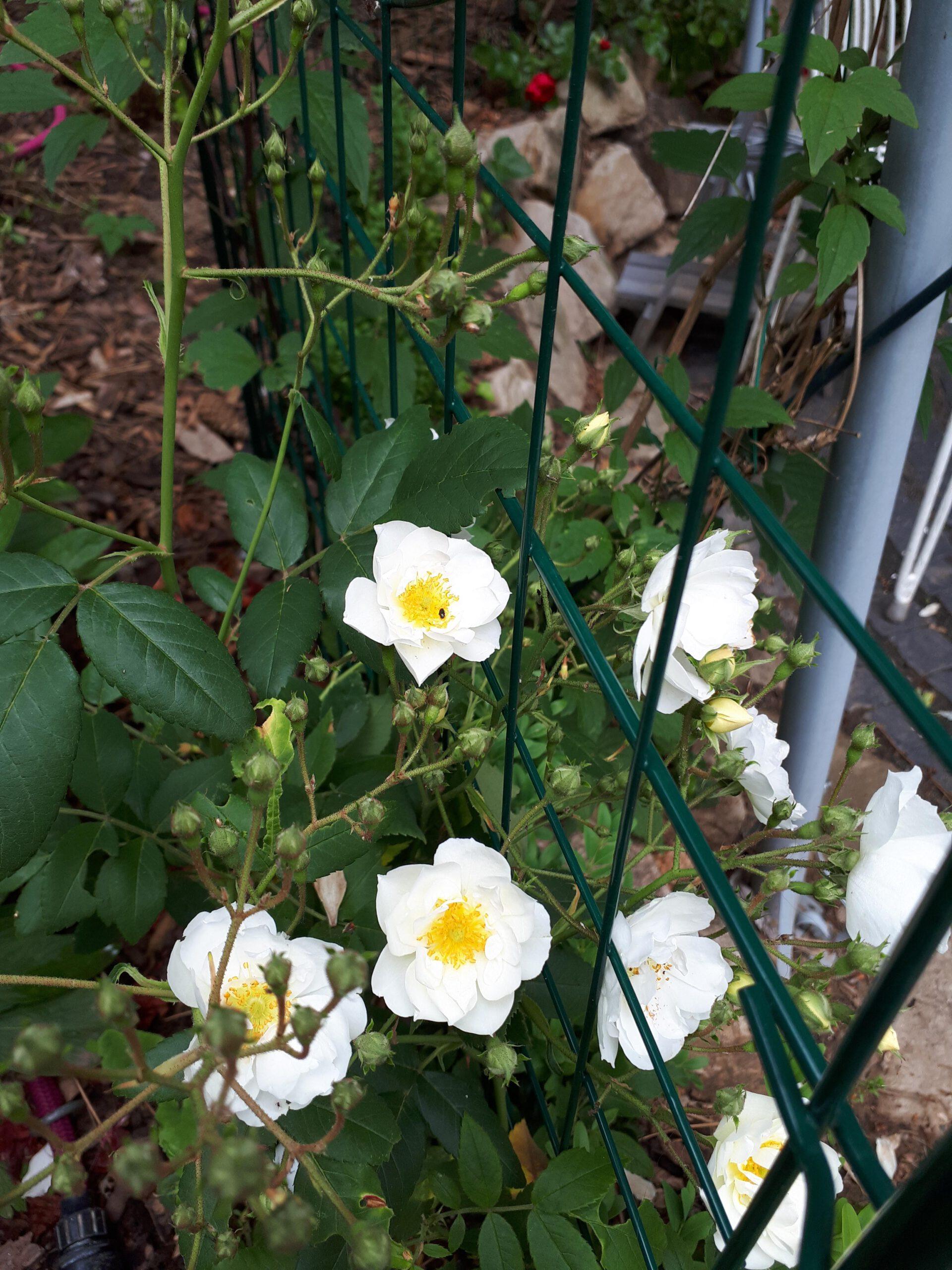 Meine Rosensorten, hier der Rambler Rambling Rector der den Rosenpavillon beranken soll.