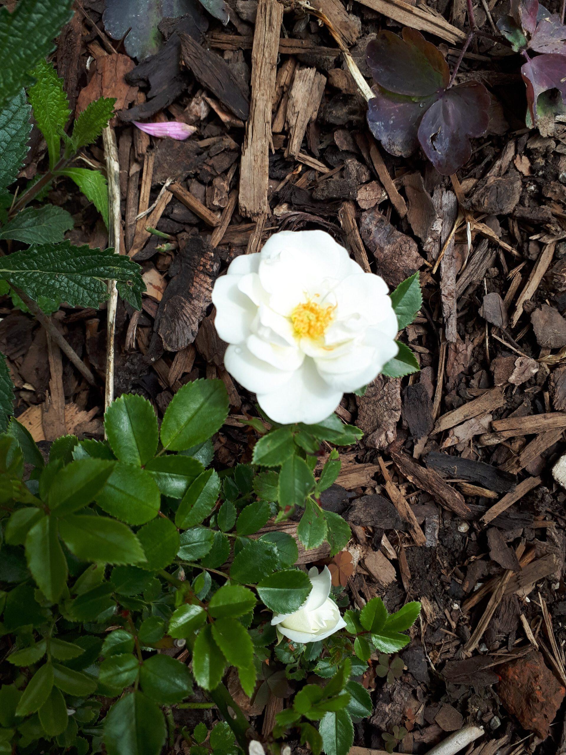 Meine Rosensorten, hier die Kleinstrauch- oder auch Bodendeckerrose Innocencia.