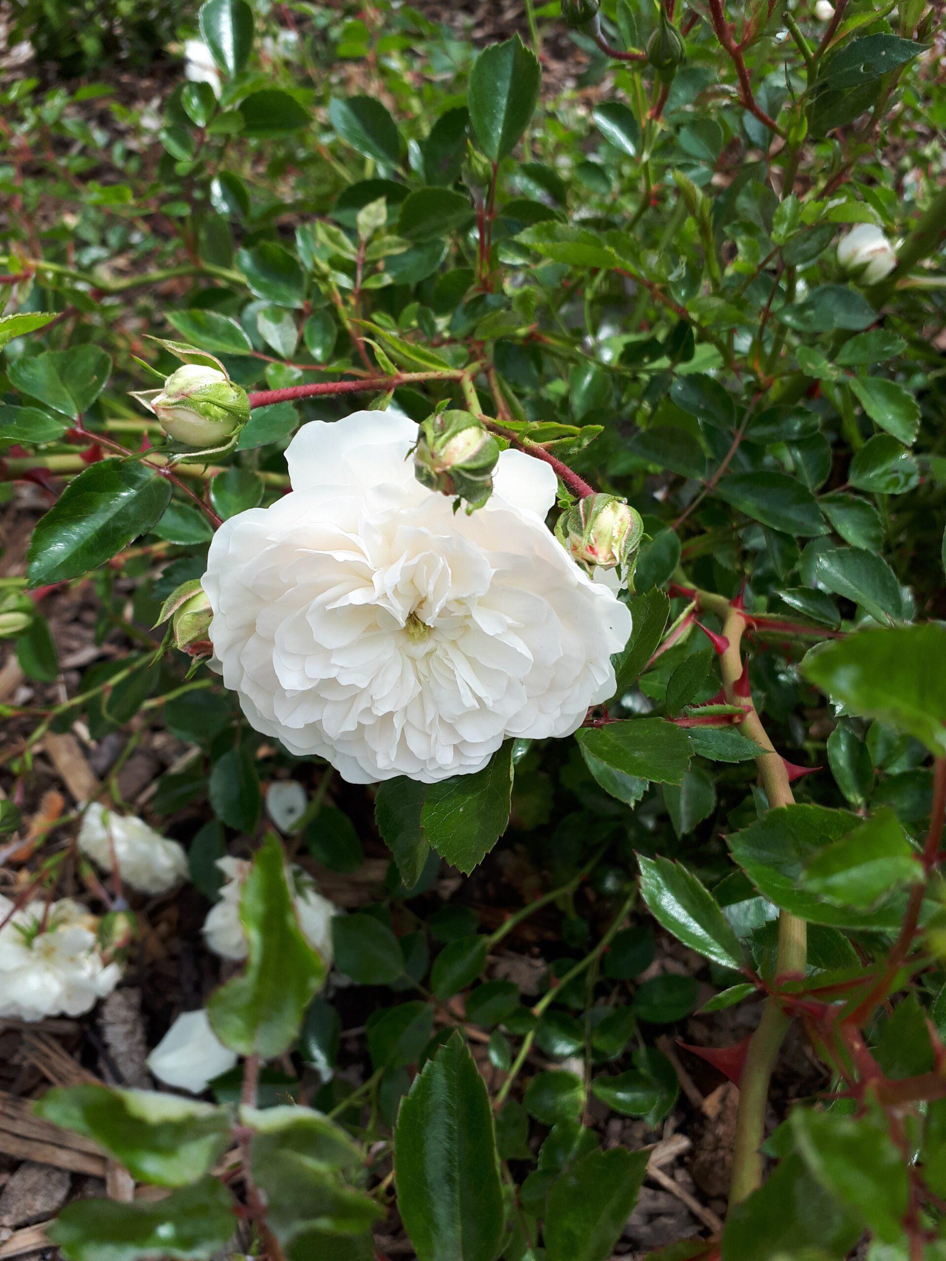 Meine Rosensorten, hier die Flächenrose Seafoam.