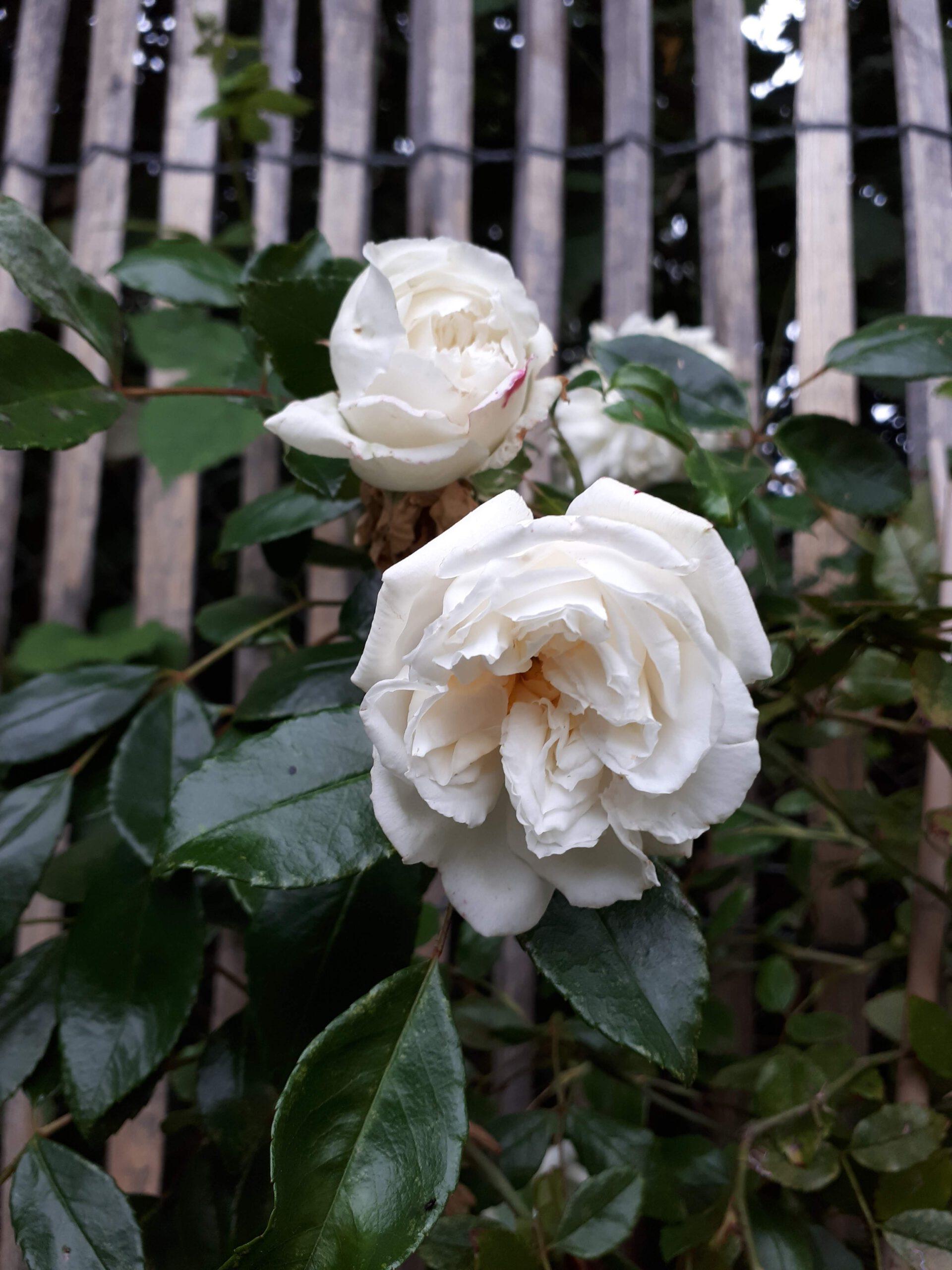 Meine Rosensorten, hier der Rambler Alberic Barbier.