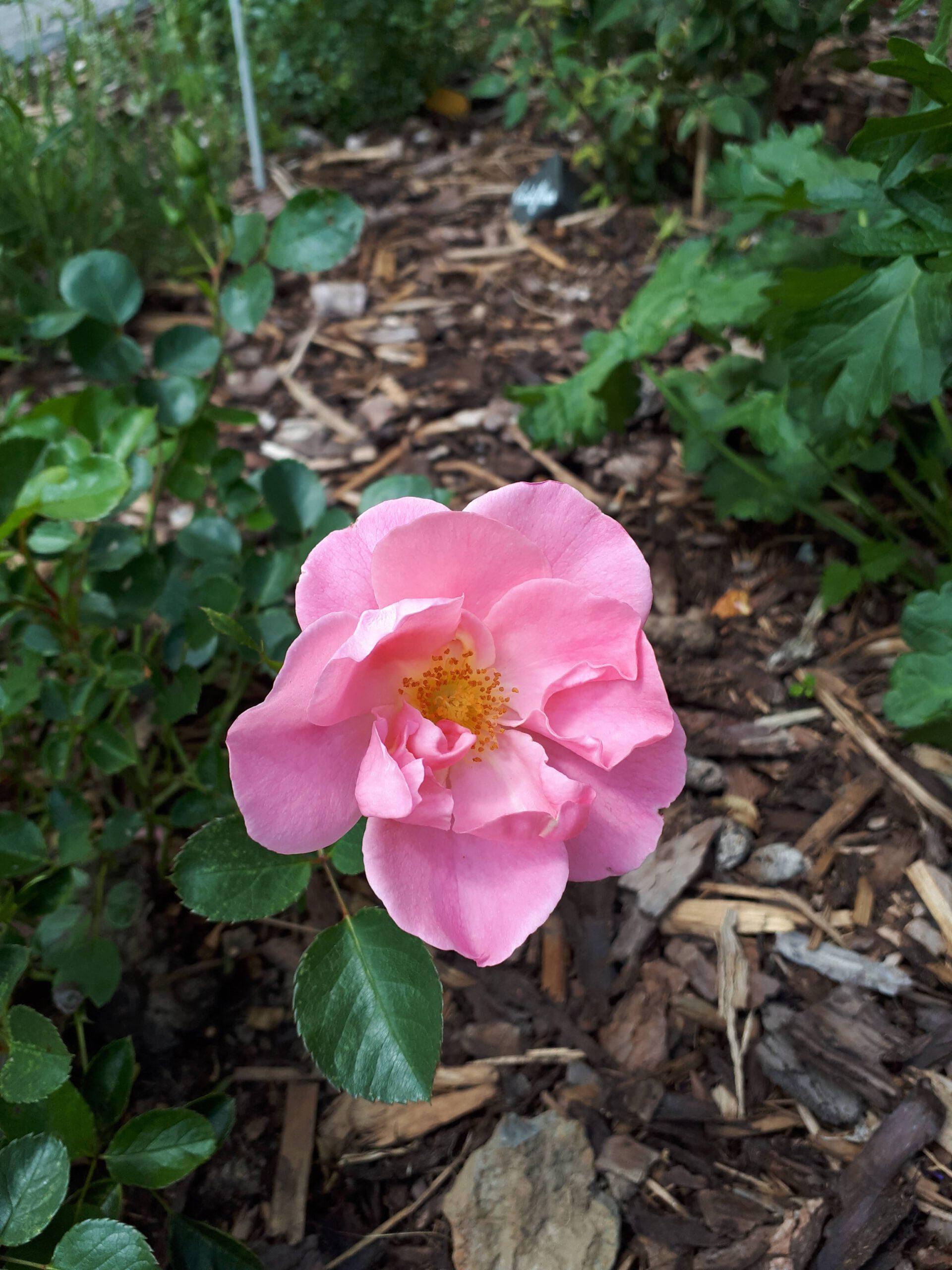 Meine Rosensorten, hier die Bodendeckerrose Sommerwind.