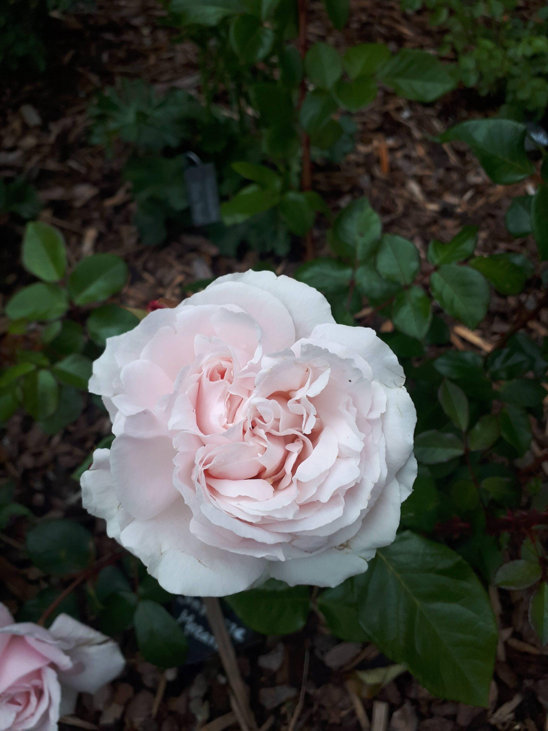 Meine Rosensorten, hier die Duft-Beetrose Constanze Mozart.