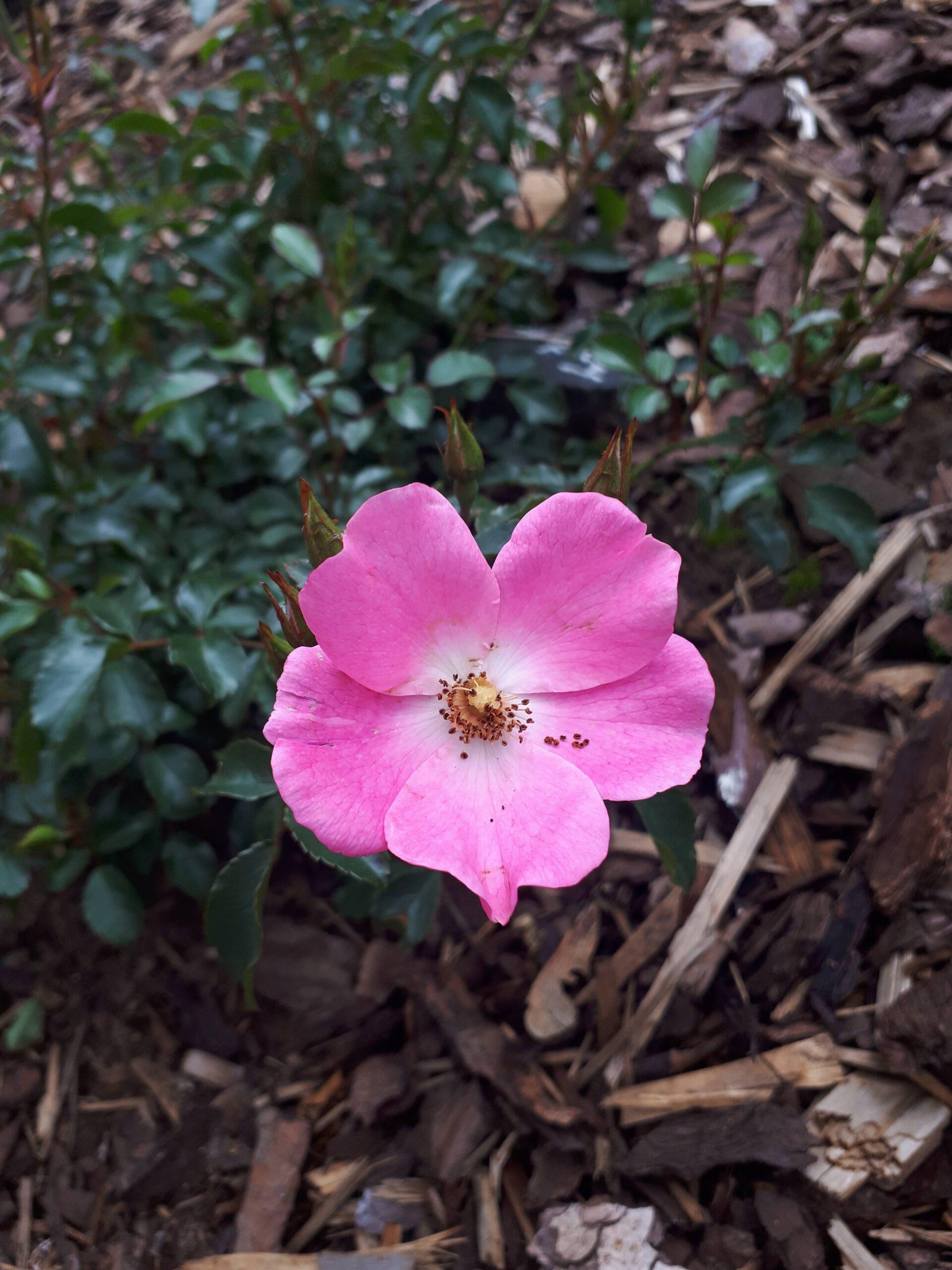 Meine Rosensorten, hier die Bodendeckerreose Fortuna.