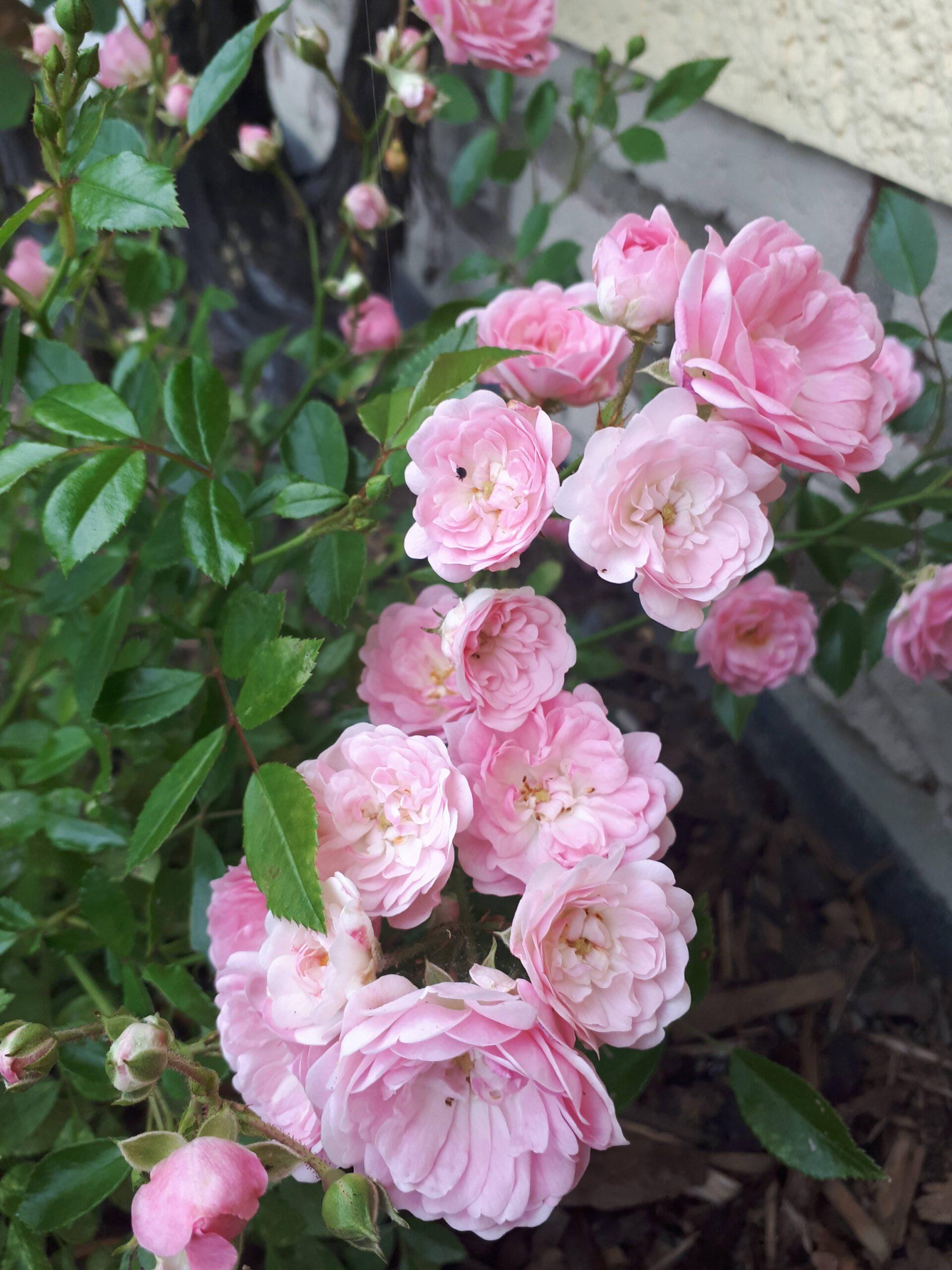 Meine Rosensorten, hier Kleinstrauchrose The Fairy.