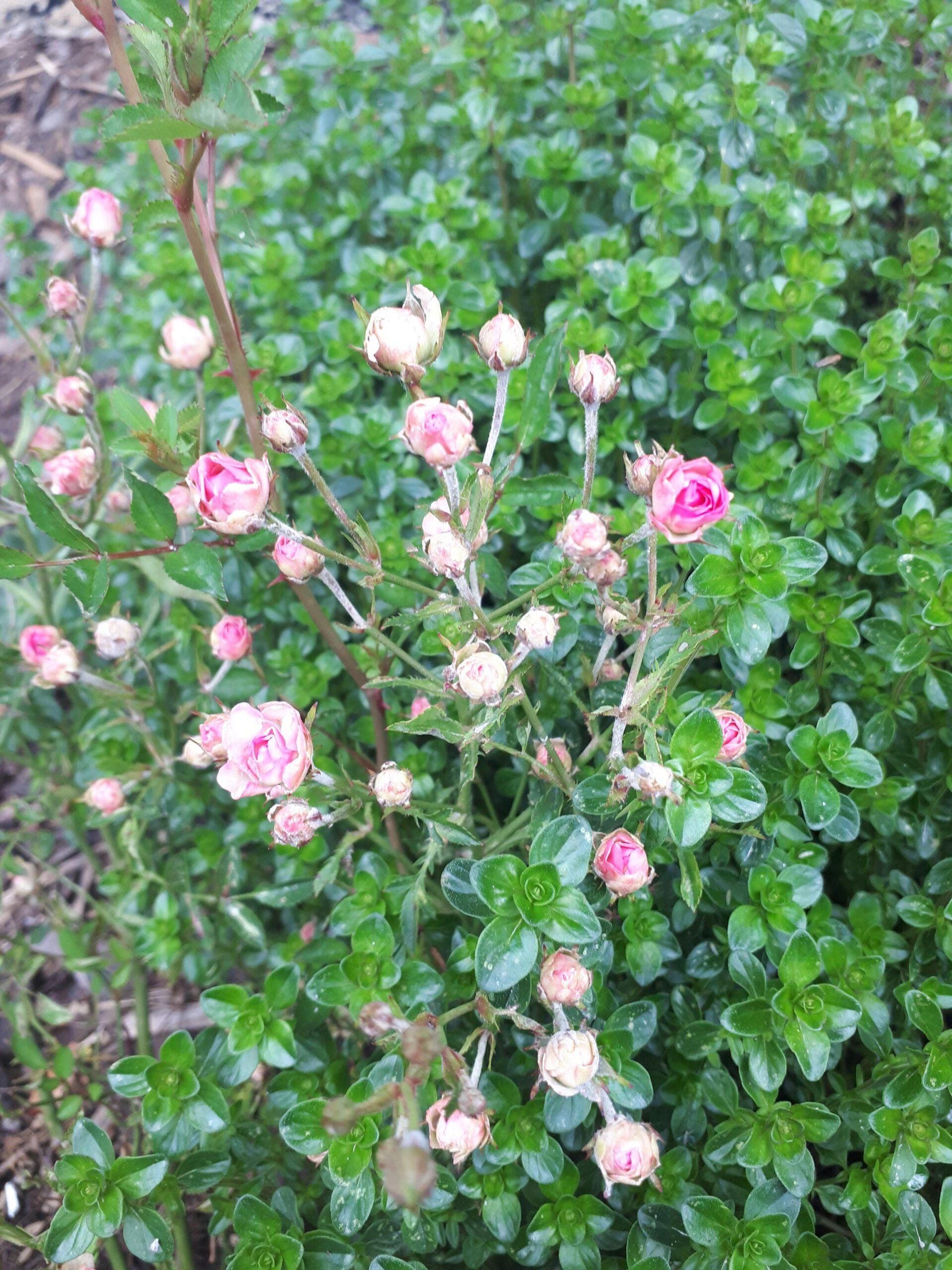 Meine Rosensorten, hier die Zwergrose Lilly Rose Wonder 5