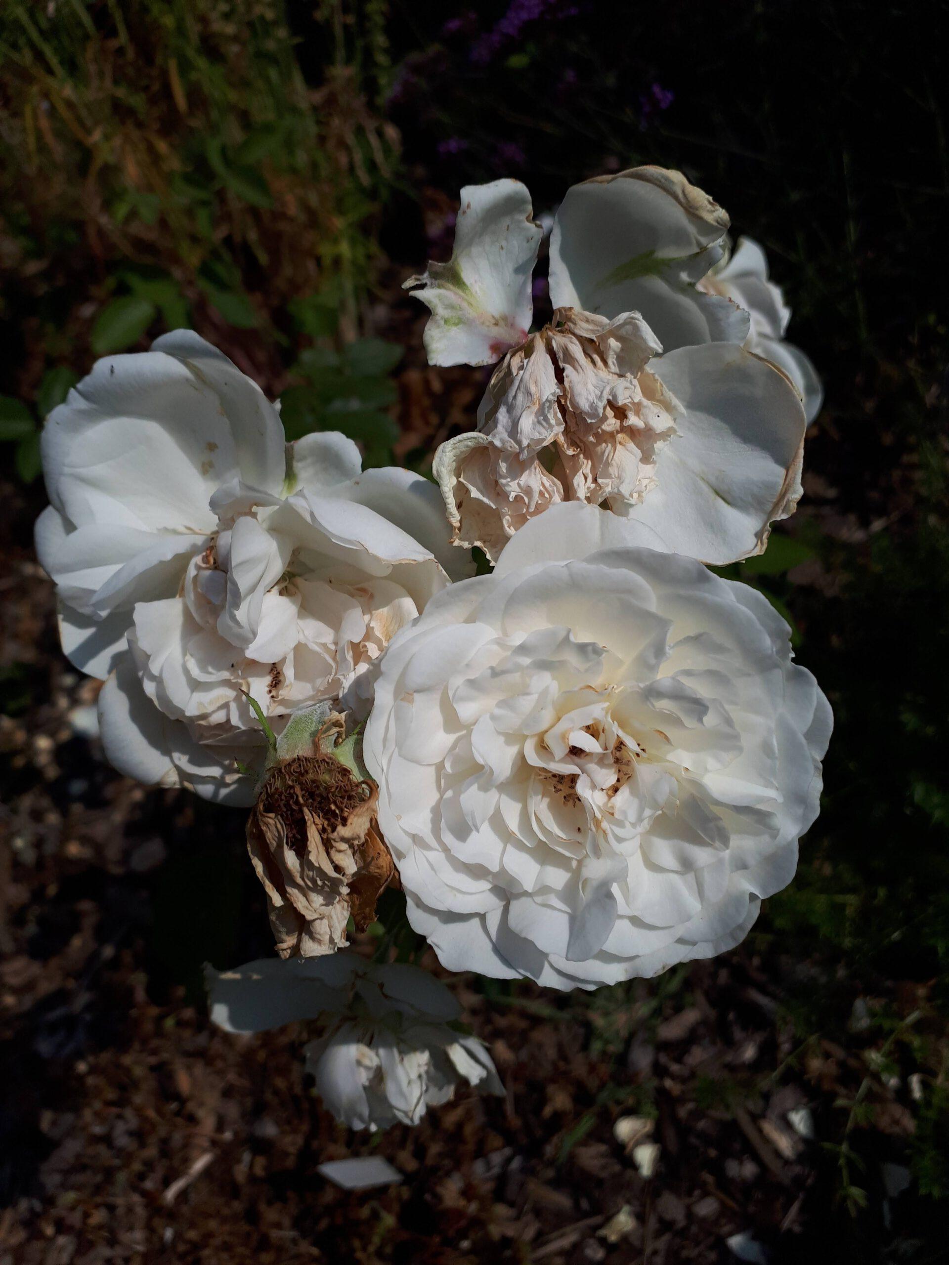 Meine Rosensorten, hier die Edelrose Sebastian Kneipp.