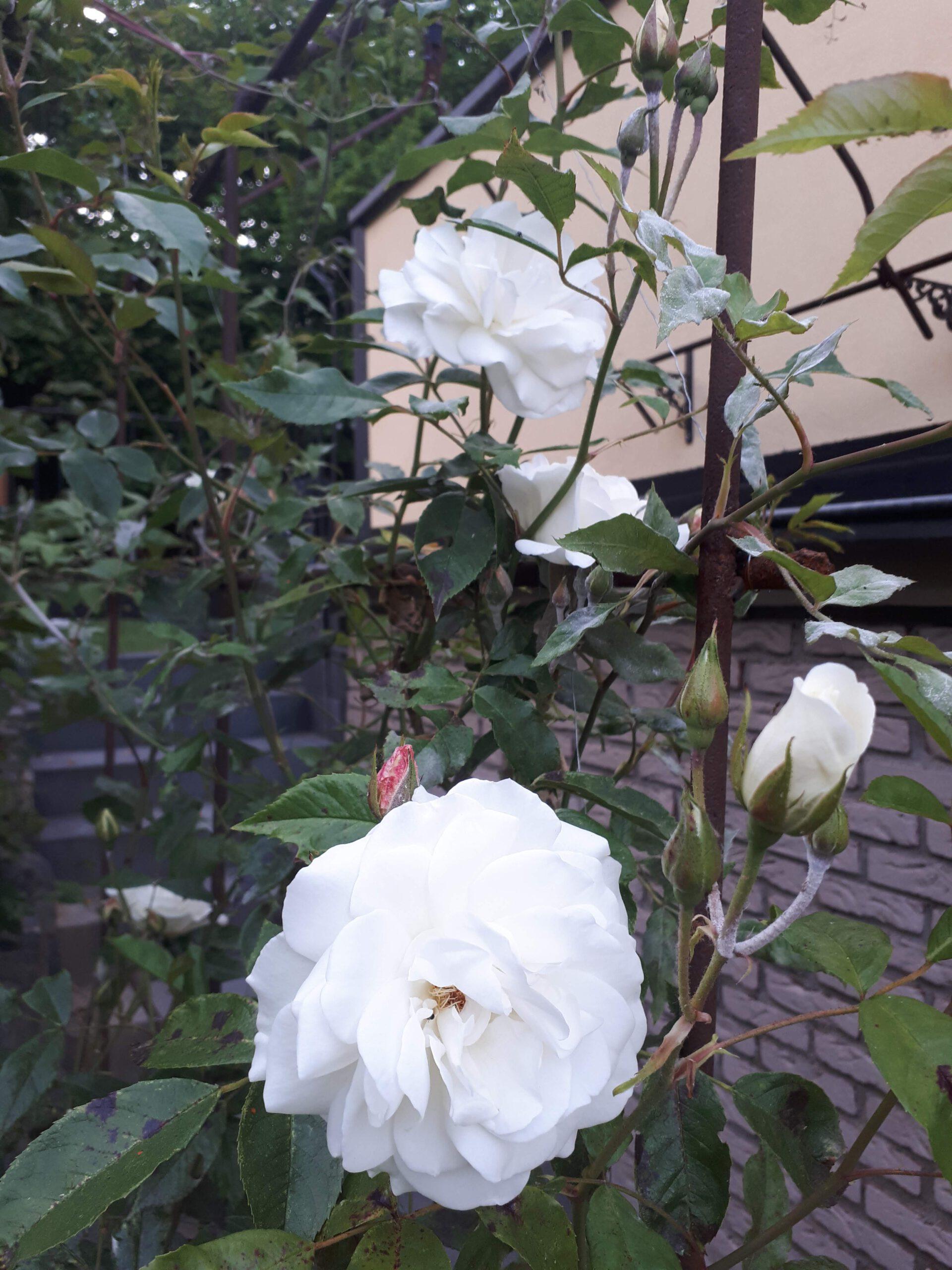 Meine Rosensorten, hier die Kletterrose Snow Princess.