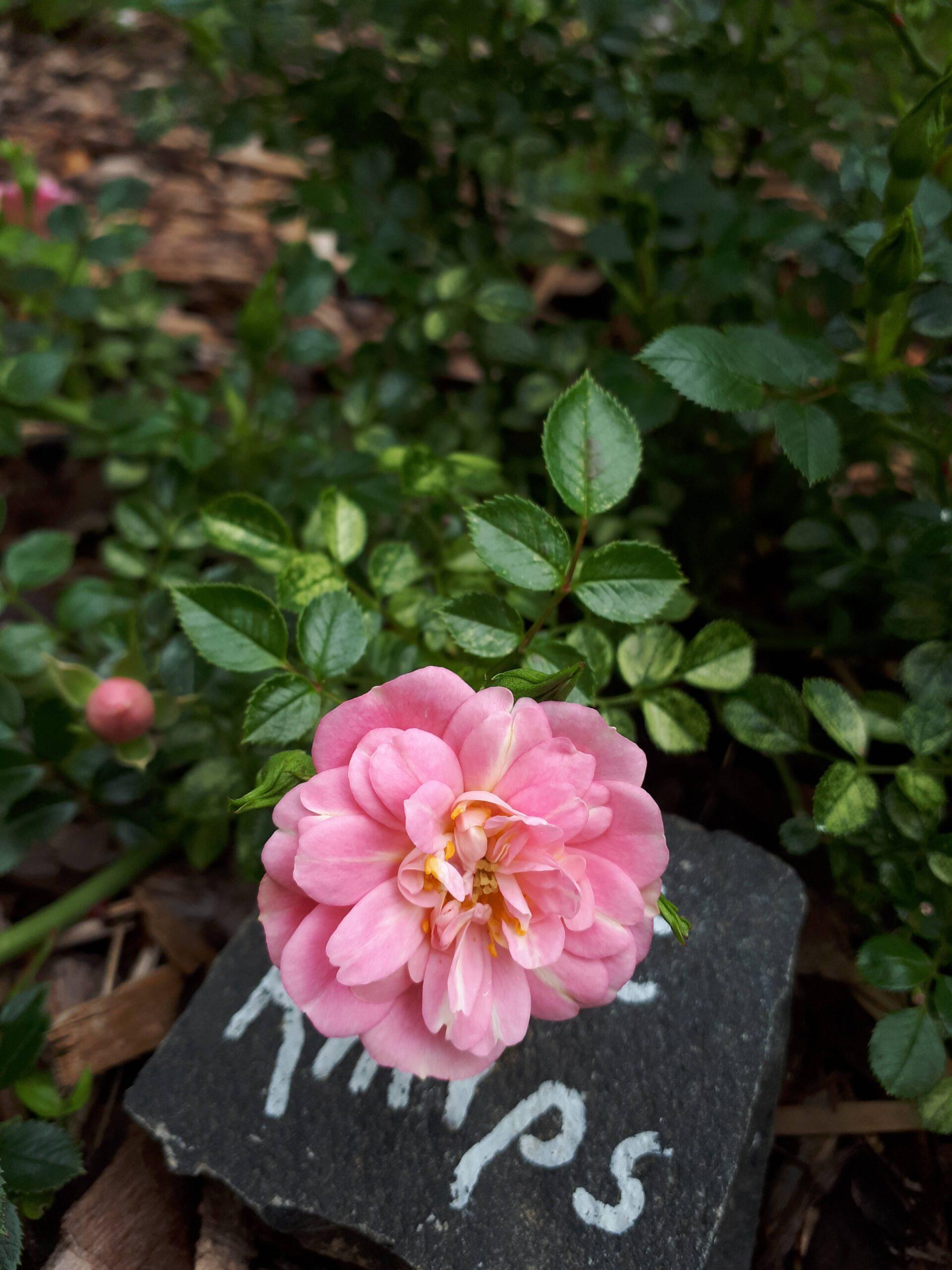 Meine Rosensorten, hier die Kleinstrauchrose Sweet Knirps.