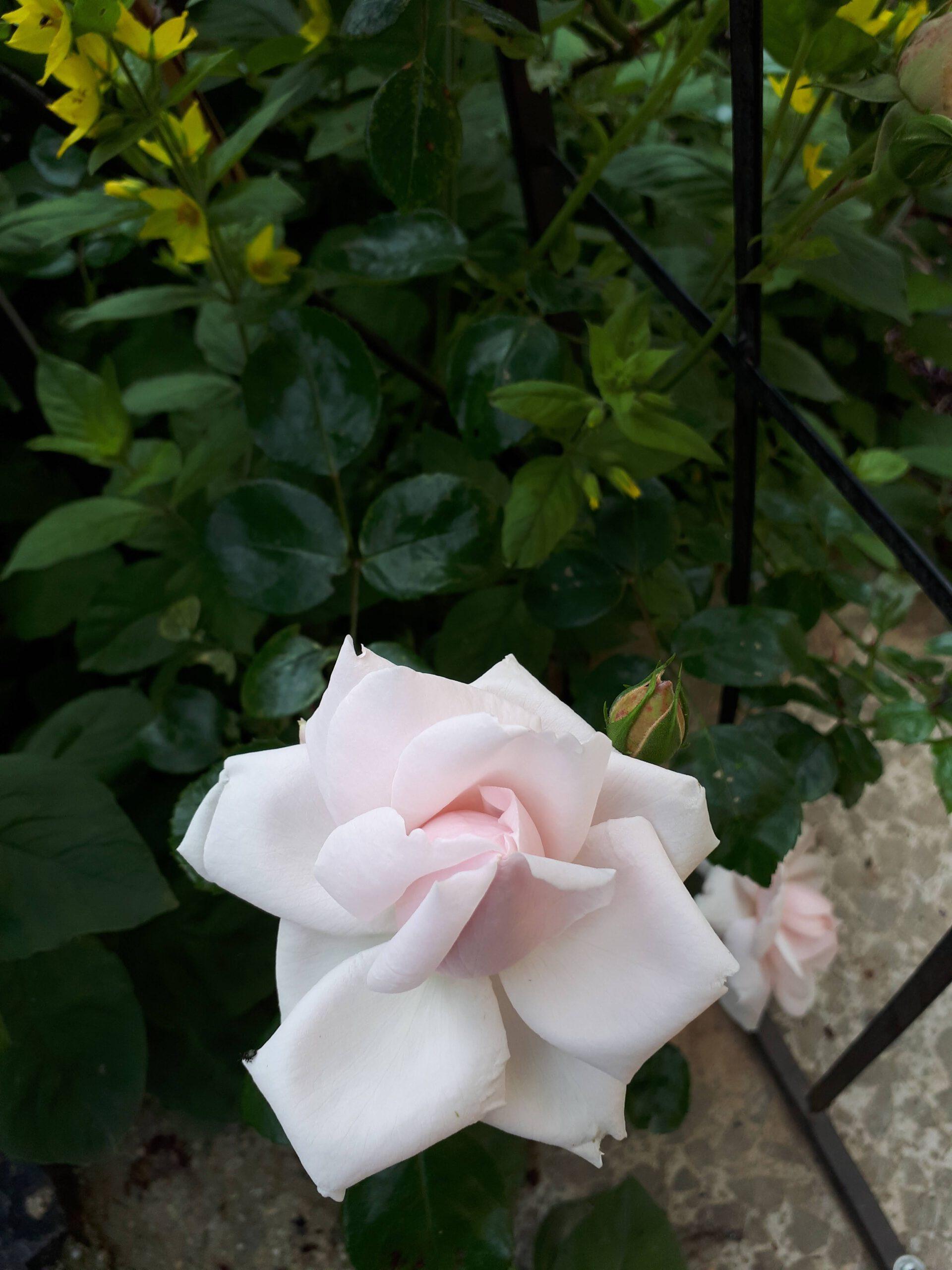 Meine Rosensorten, hier die Kletterrose New Dawn.