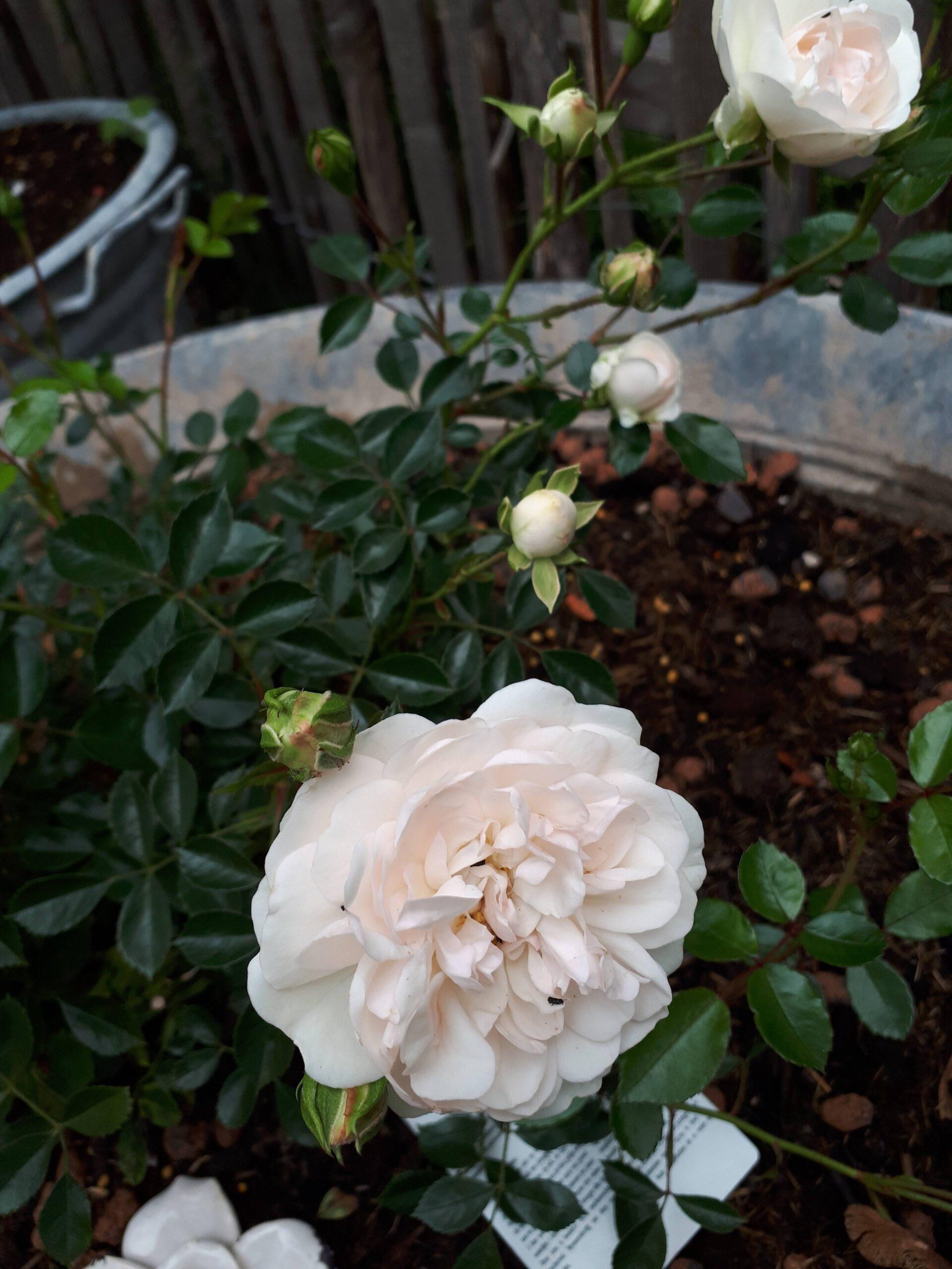 Meine Rosensorten, hier die Bodendeckerrose Swany die in einer der zahlreichen Zinkwannen sitzt.