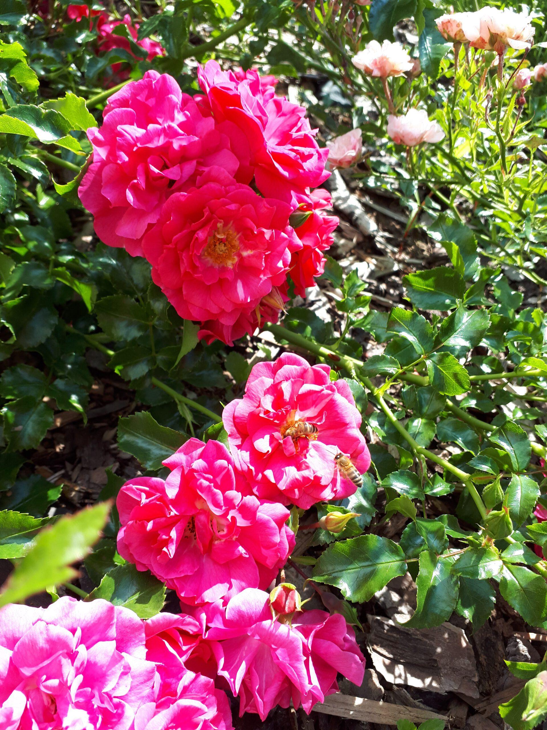 Meine Rosensorten, hier die Flächenrose Heidetraum.