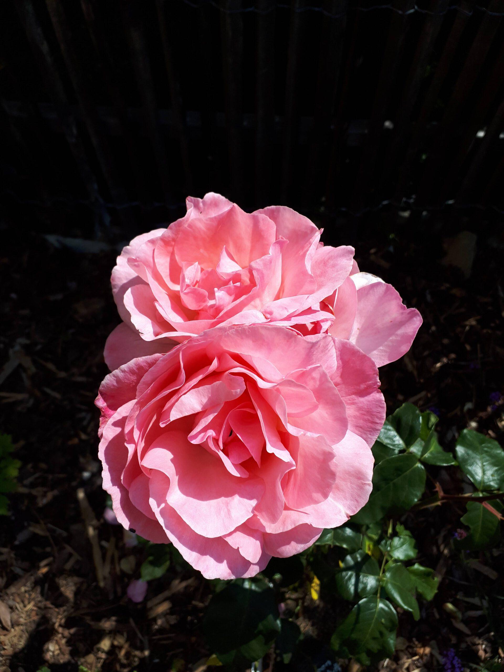 Meine Rosensorten, hier die Beetrose Queen Elizabeth.