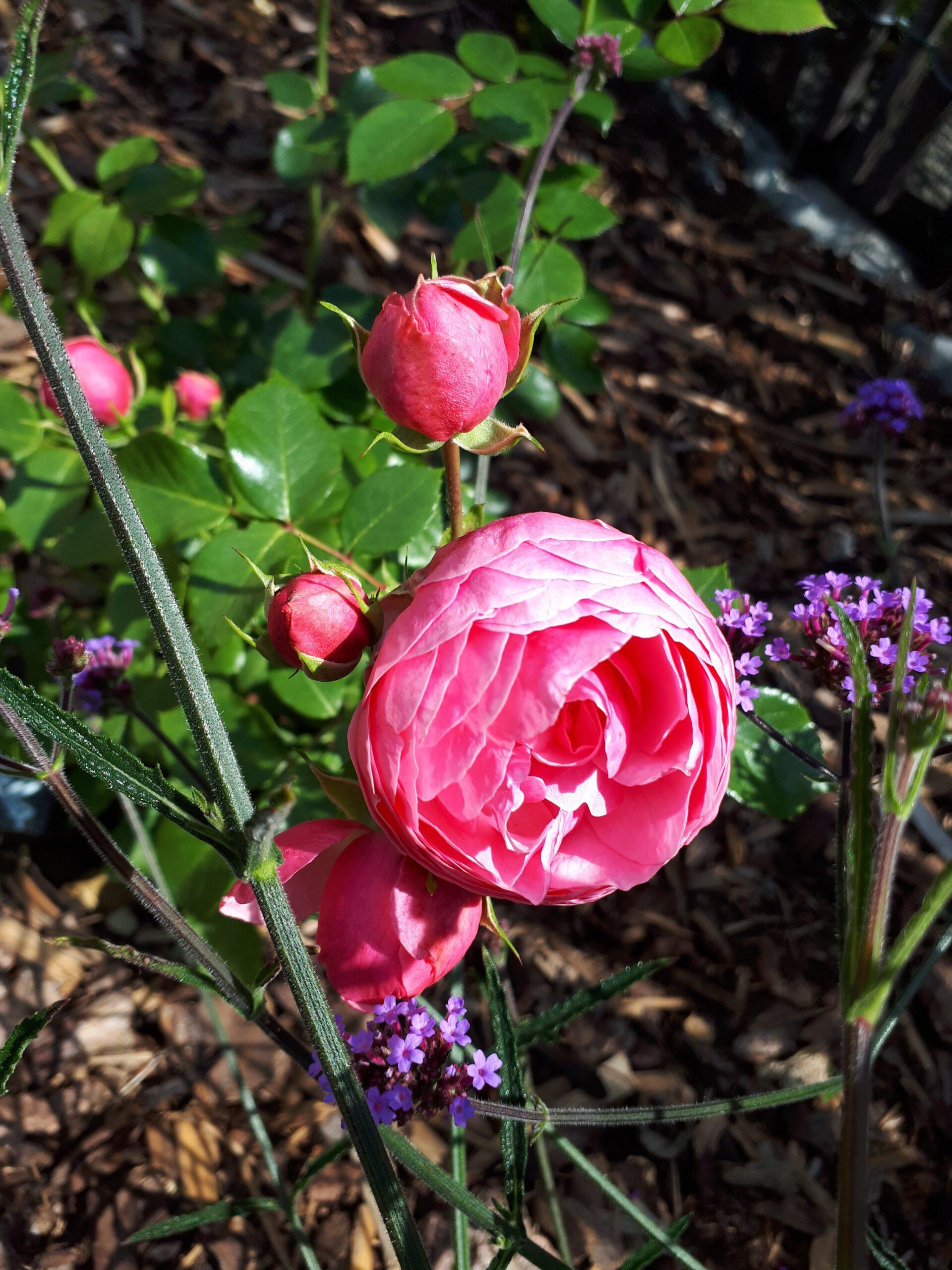 Das Eisenkraut hat als Rosenbegleiter im Spätsommer seinen großen Auftritt.