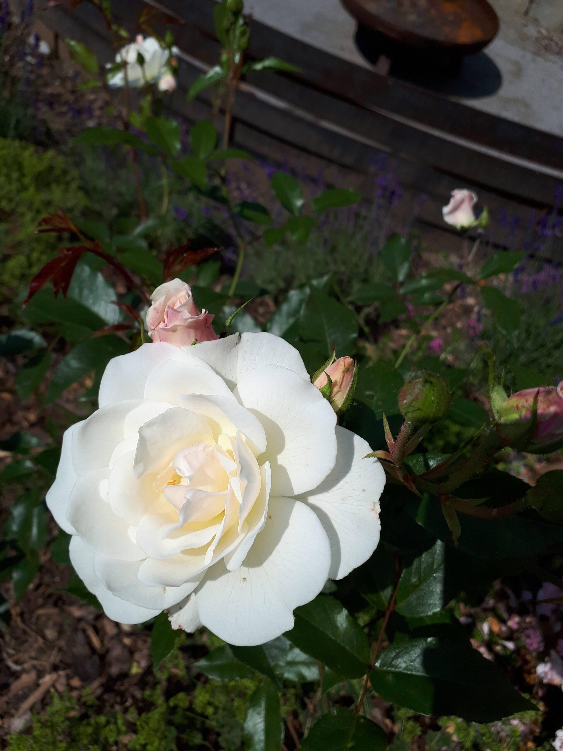 Meine Rosensorten, hier eine unbekannte cremeweiße Sorte die an eine klassische Edelrose erinnert.