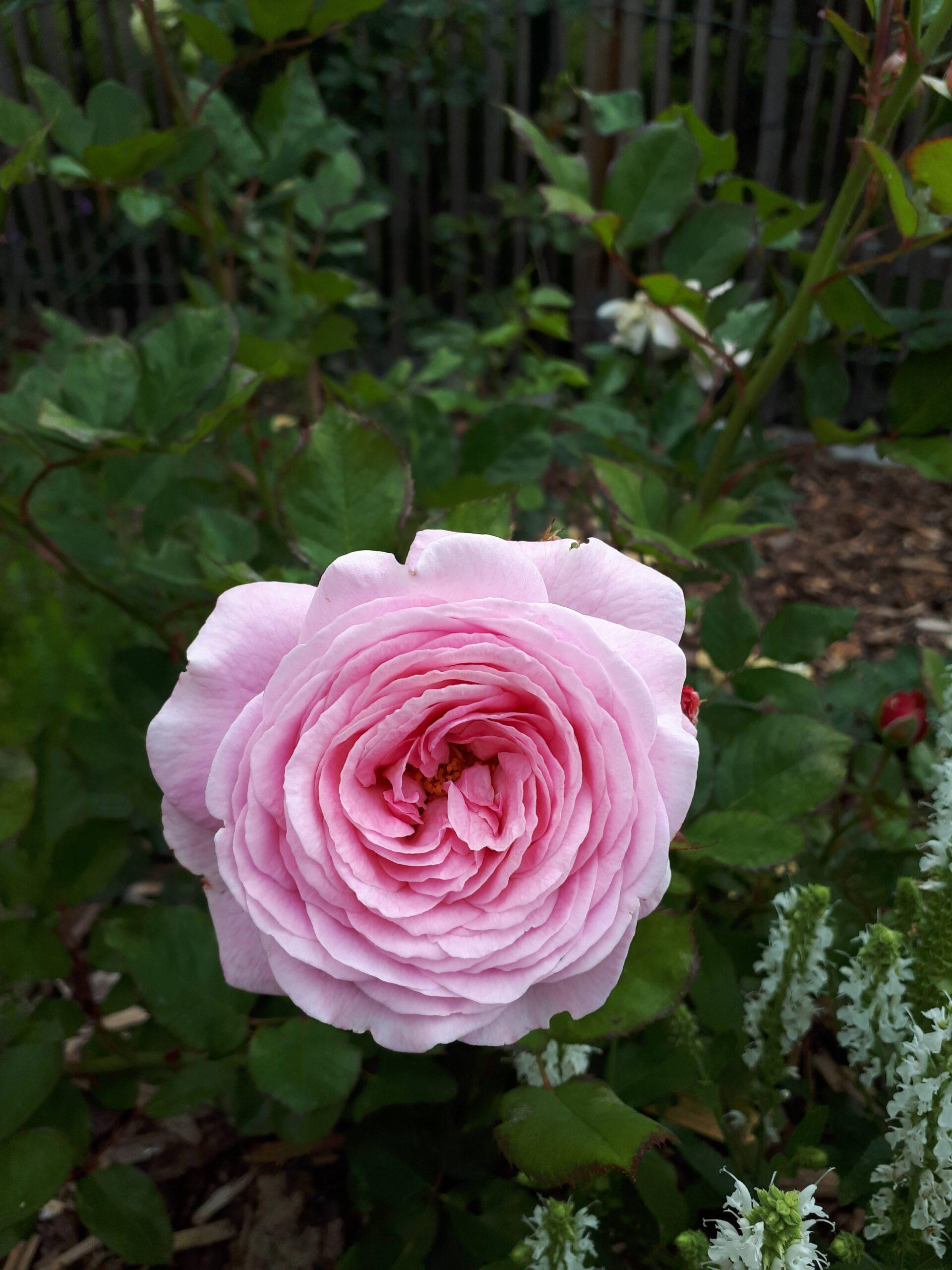 Meine Rosensorten, hier die duftende Beetrose Rosengräfin Marie Henriette.