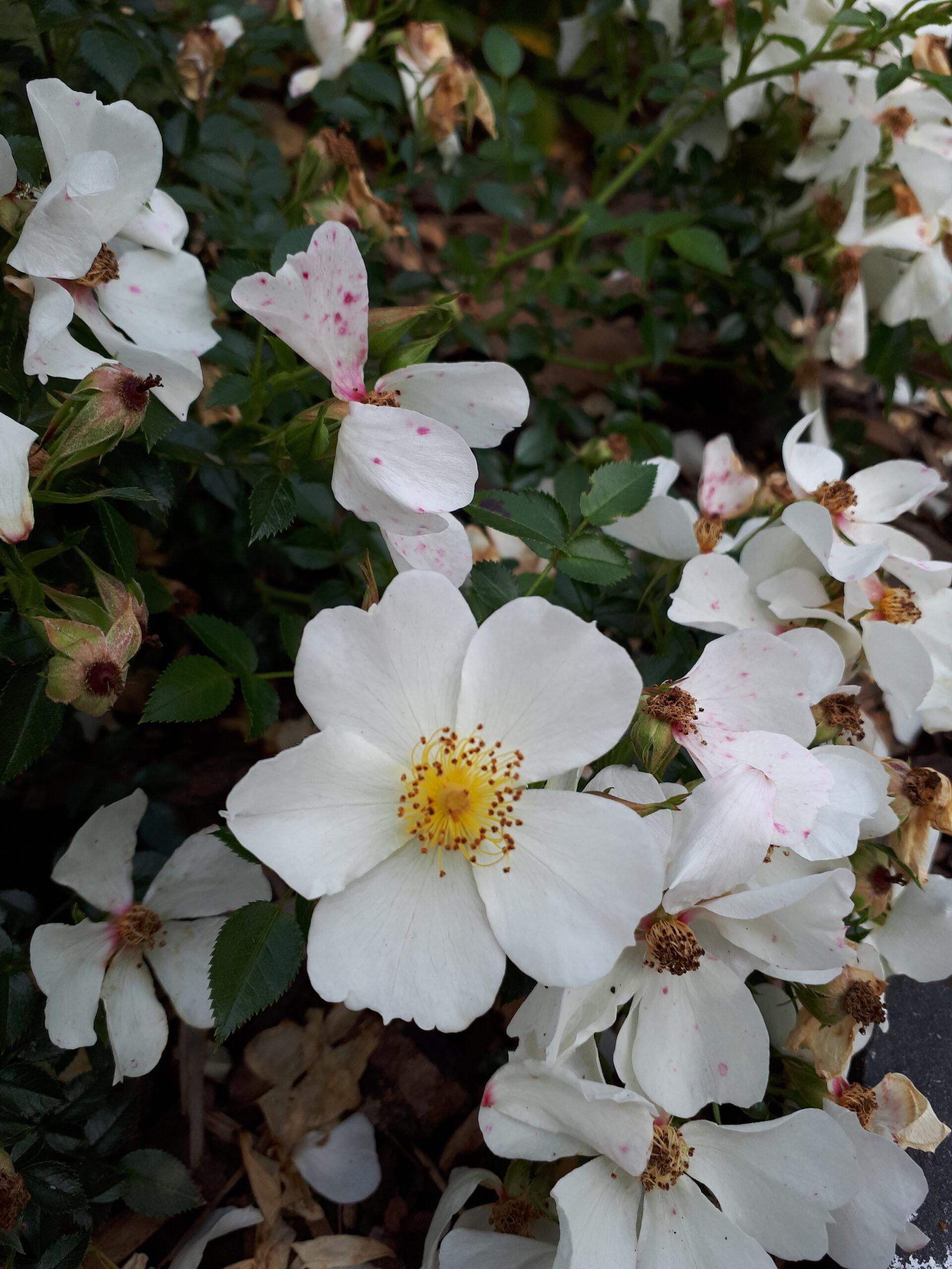 Meine Rosensorten, hier die Zwergrose Sonnenröschen.